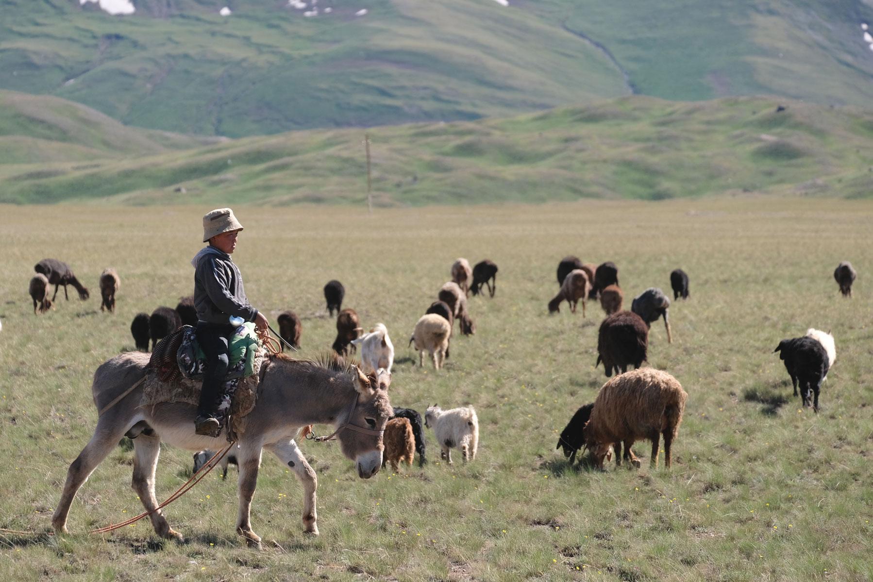 Ein Junge sitzt auf einem Esel und hütet Schafe.