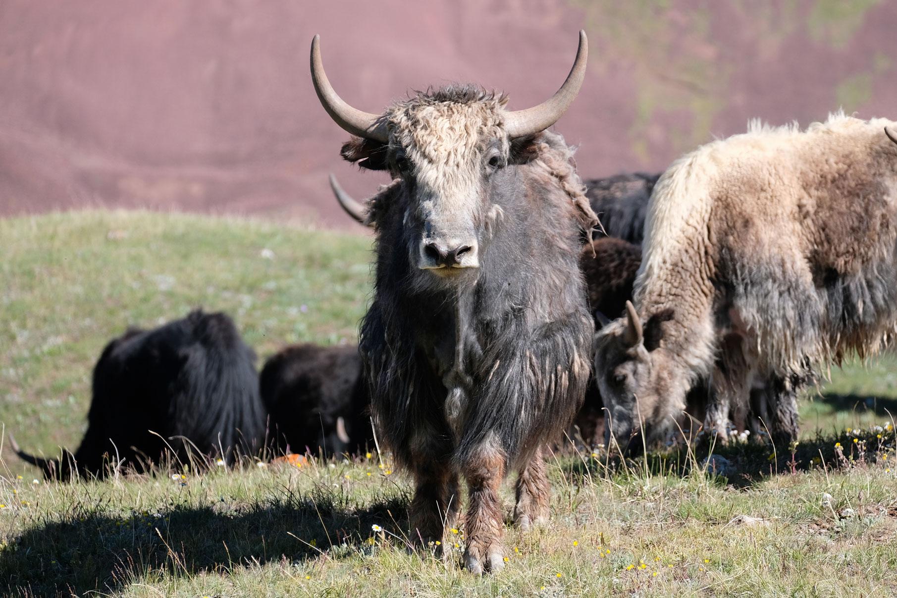 Eine Herde Yaks.