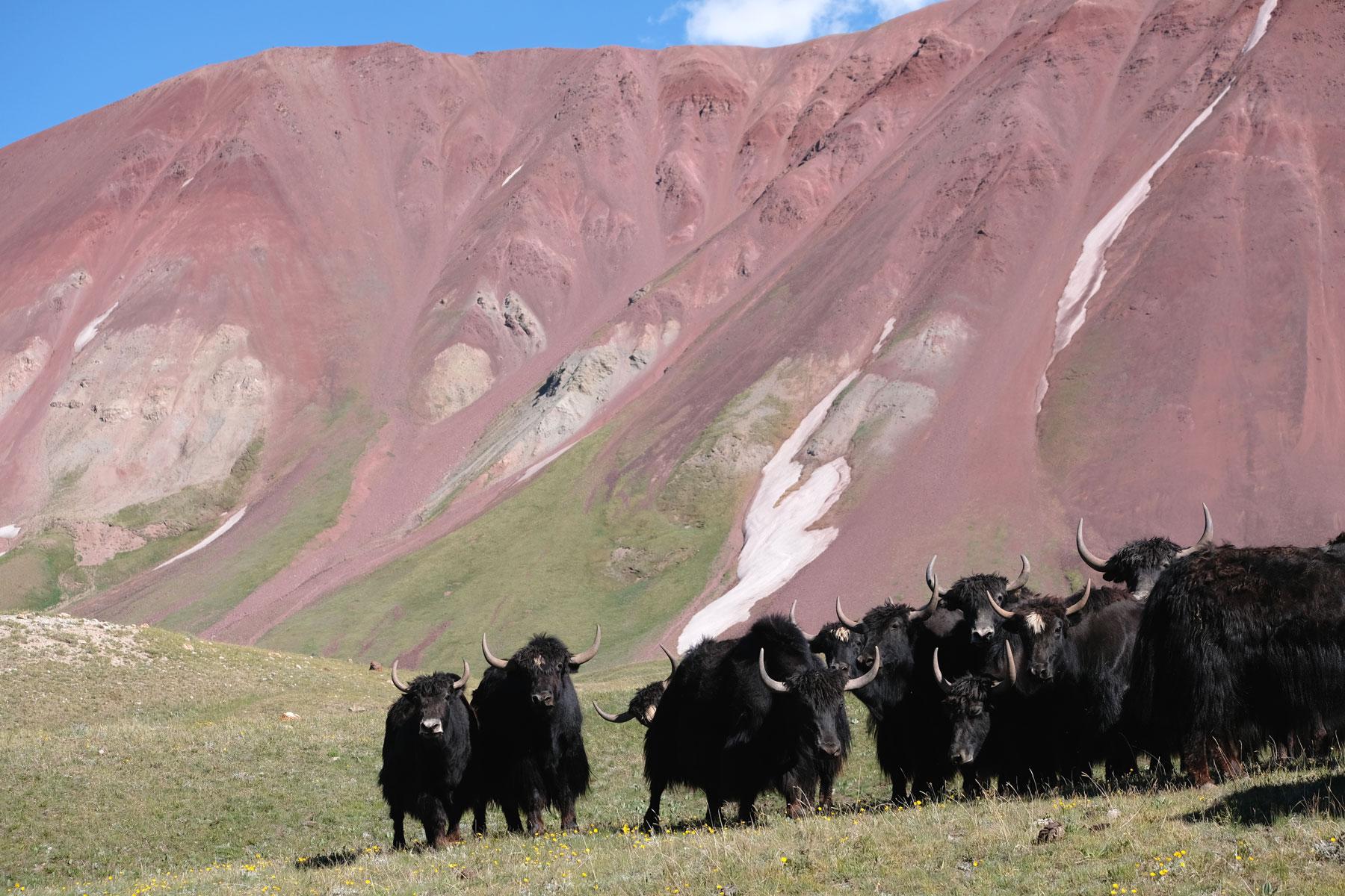 Yaks im Gebirge.