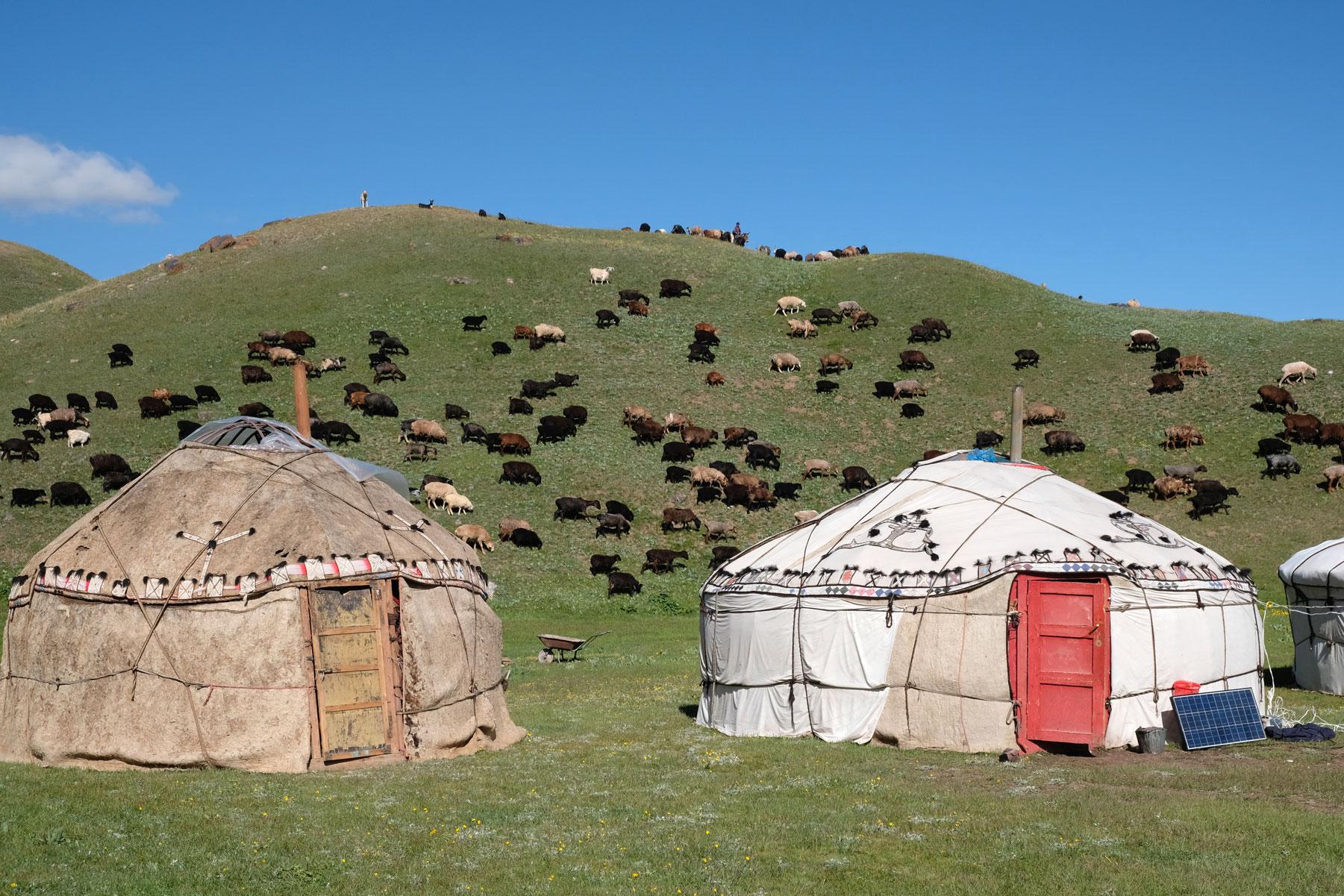 Eine Schafherde zieht an kirgisischen Jurten vorbei.