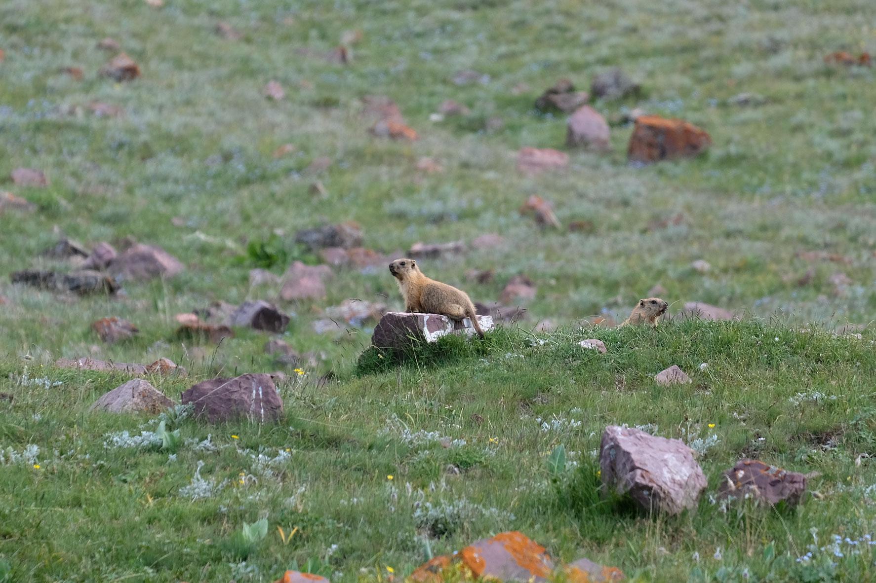 Ein Ziesel sitzt auf einem Stein.