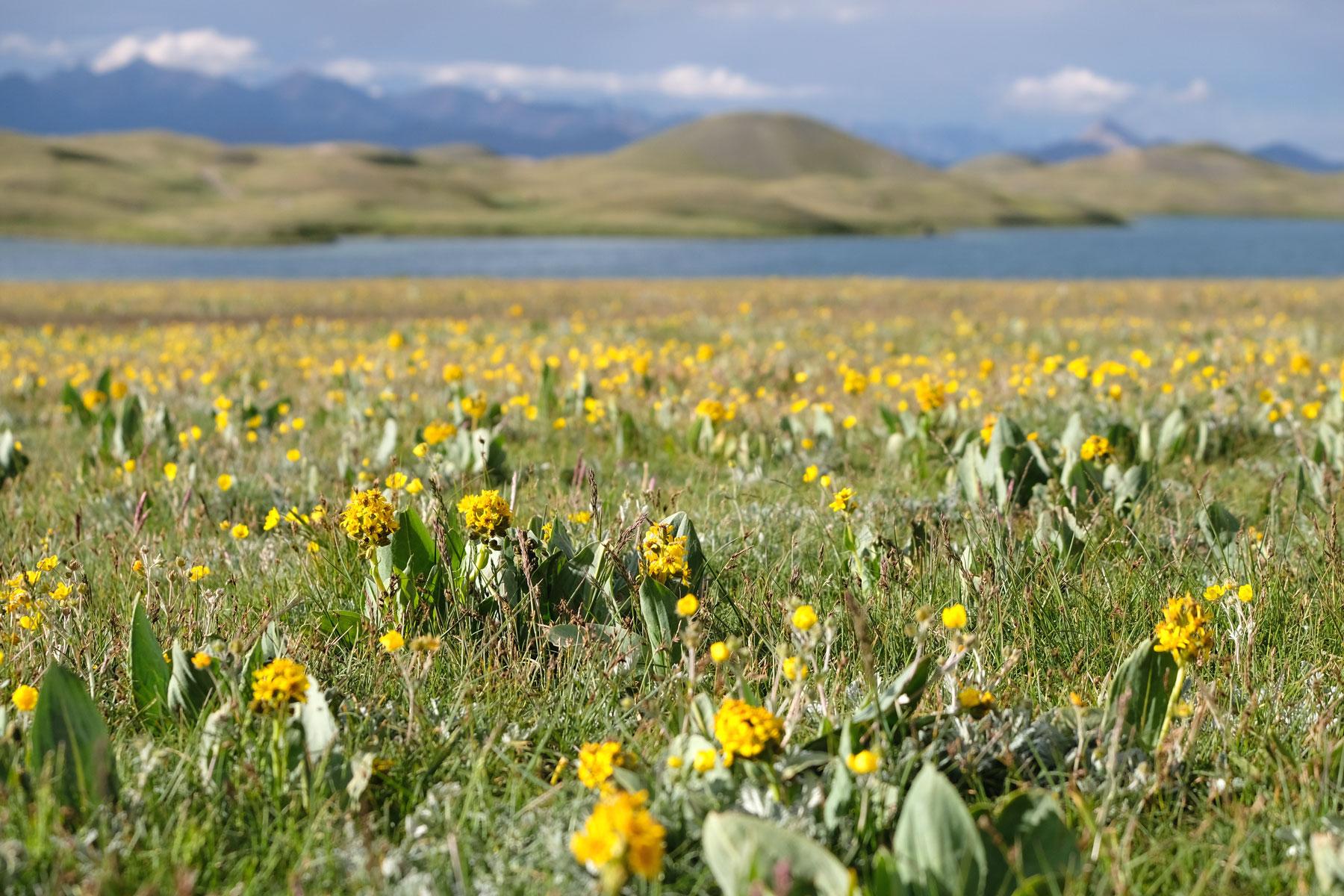 Gelbe Blumen auf einer Wiese.