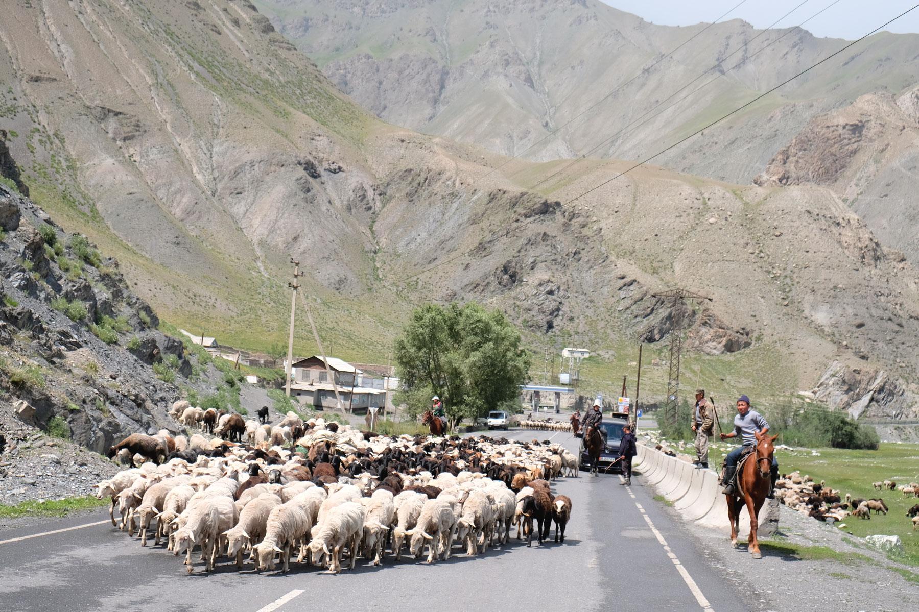Eine Schafherde läuft über eine Straße.