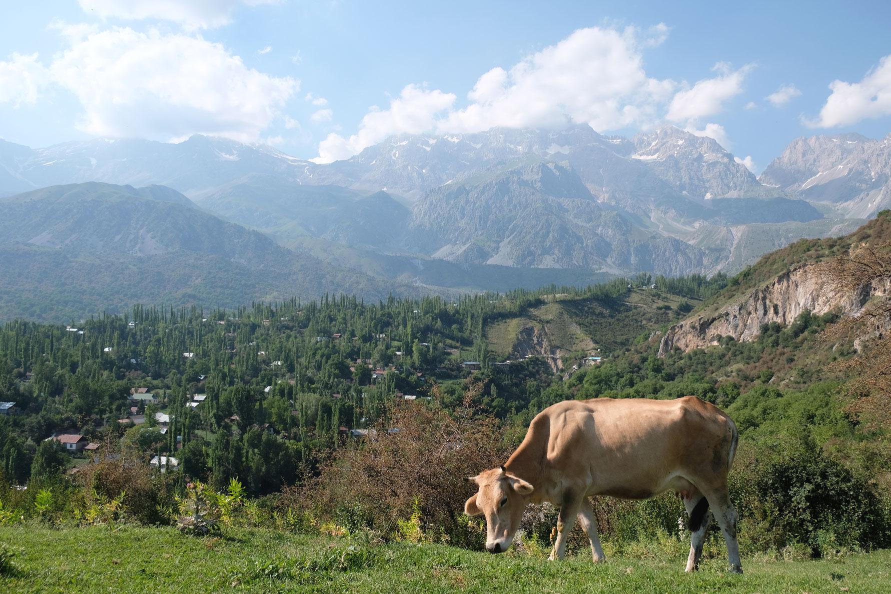Eine Kuh grast. Im Hintergrund sieht man Arslanbob und Berge.