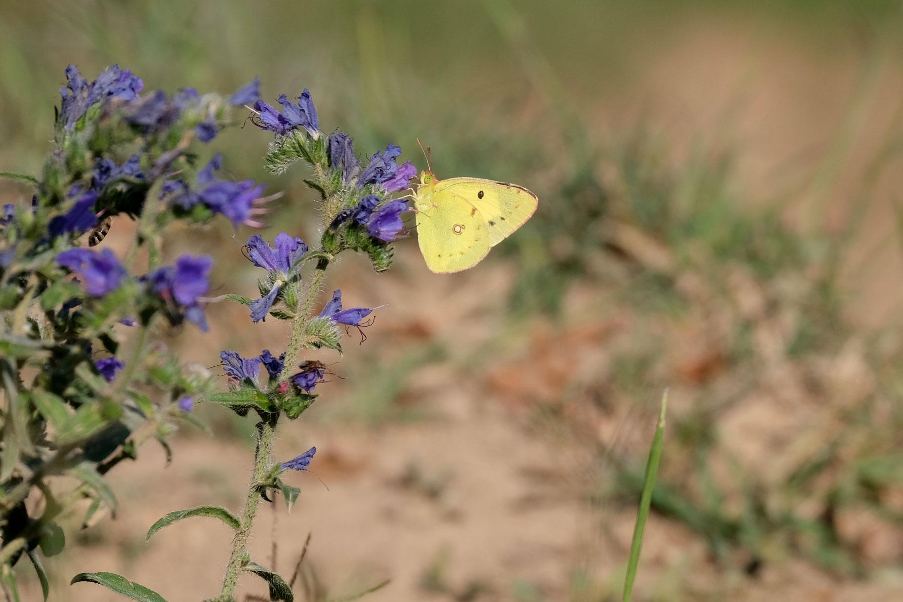 Ein gelber Schmetterling trinkt Nektar an einer blauen Blume.