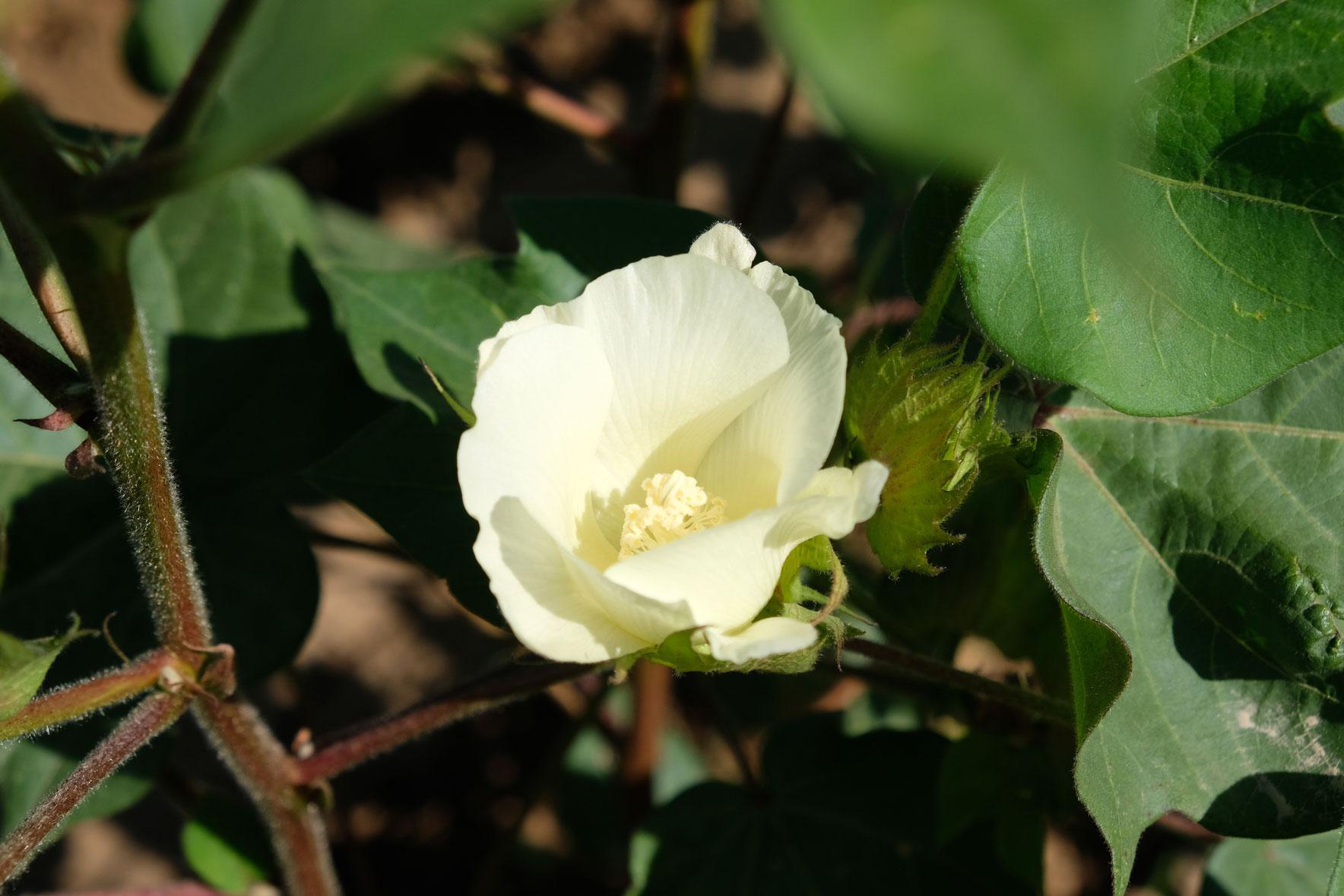 Blüte einer Baumwollpflanze.