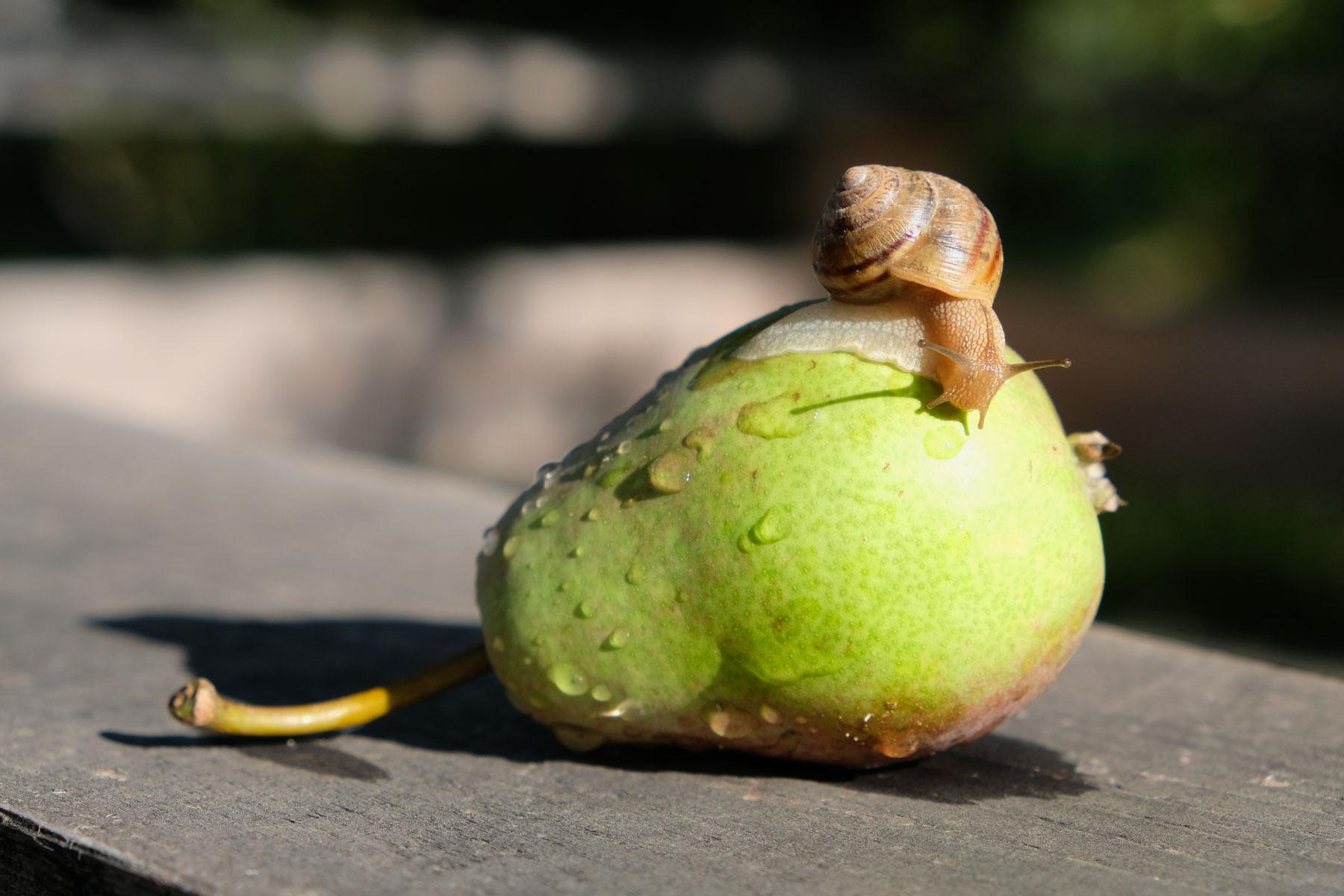Eine Schnecke kriecht über eine Birne.
