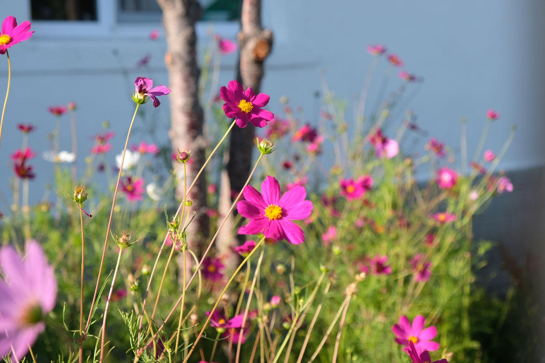 Ein Garten mit pinken Blumen.