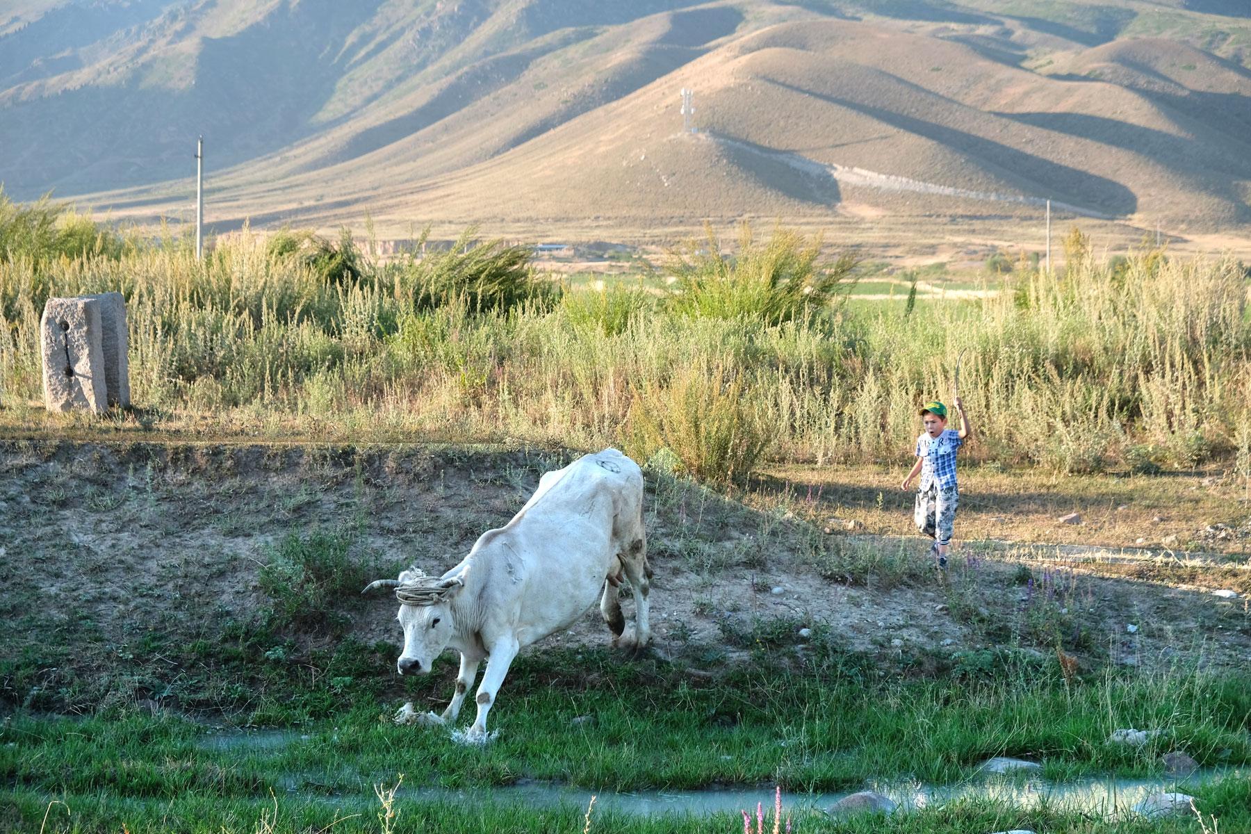 Ein Junge jagt eine Kuh.