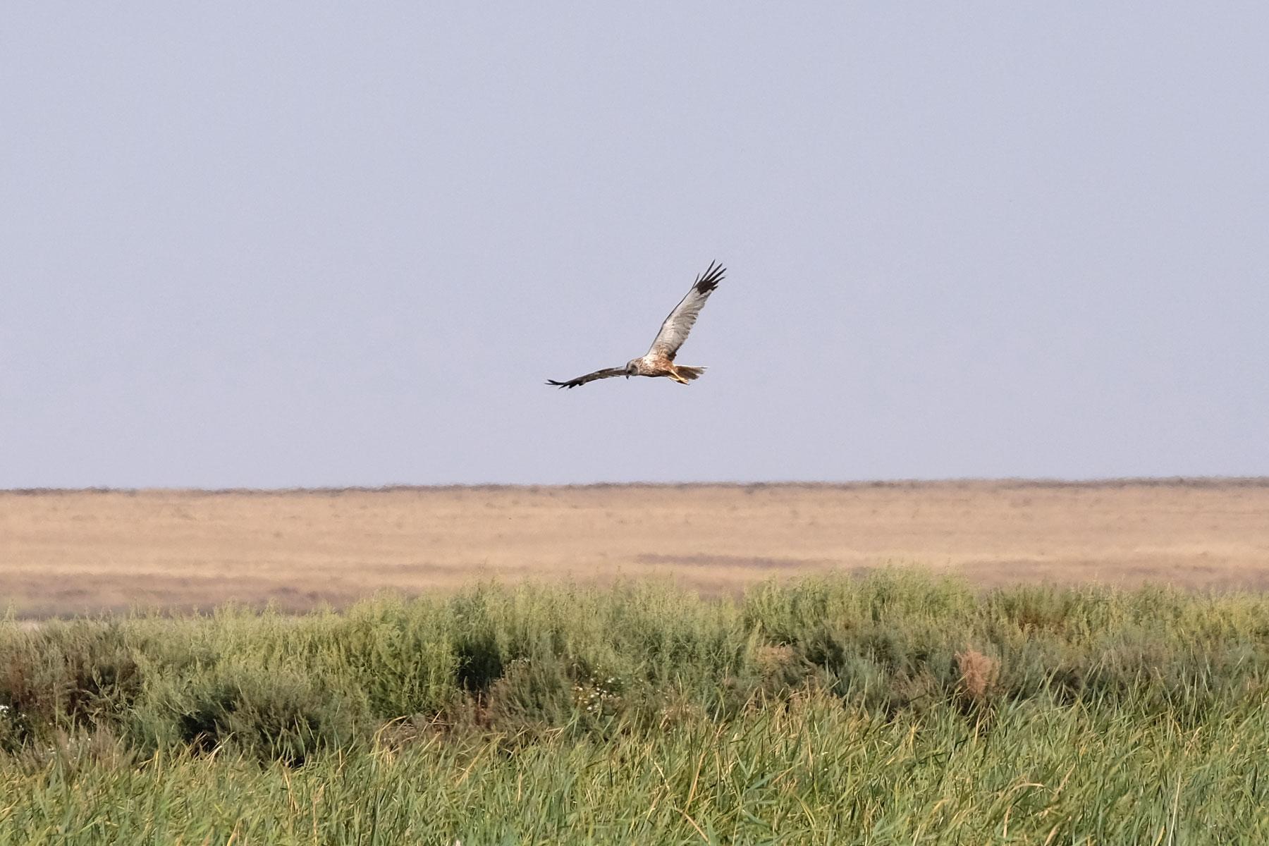 Wildvogel in der kasachischen Steppe.