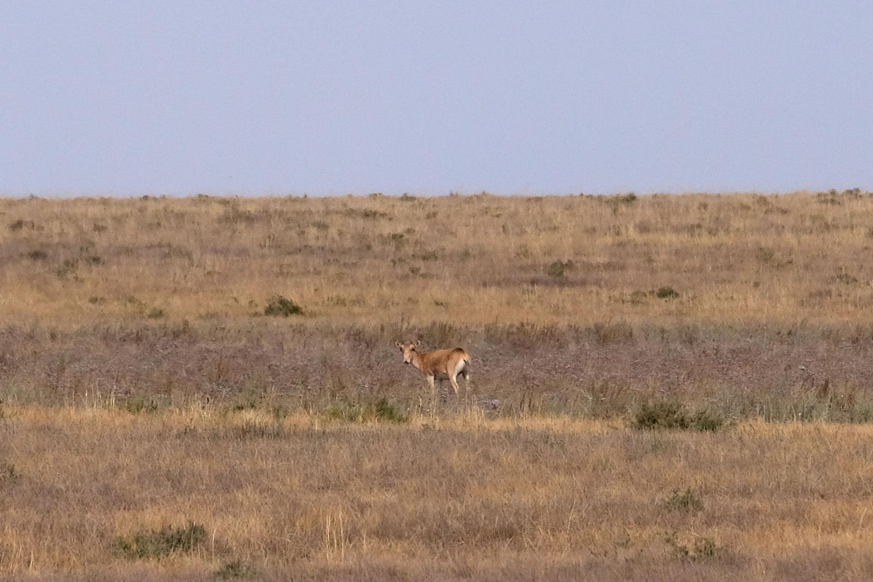 Saiga-Antilope in der kasachischen Steppe.