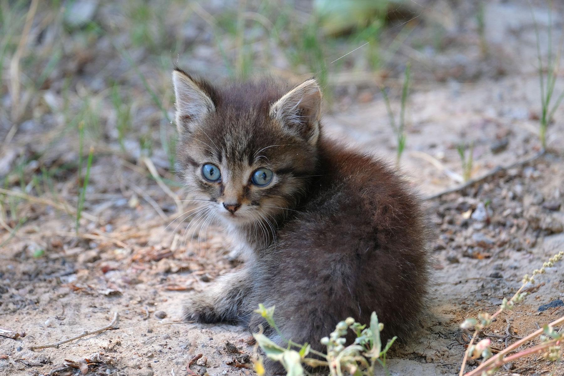 Ein Kätzchen mit blauen Augen.