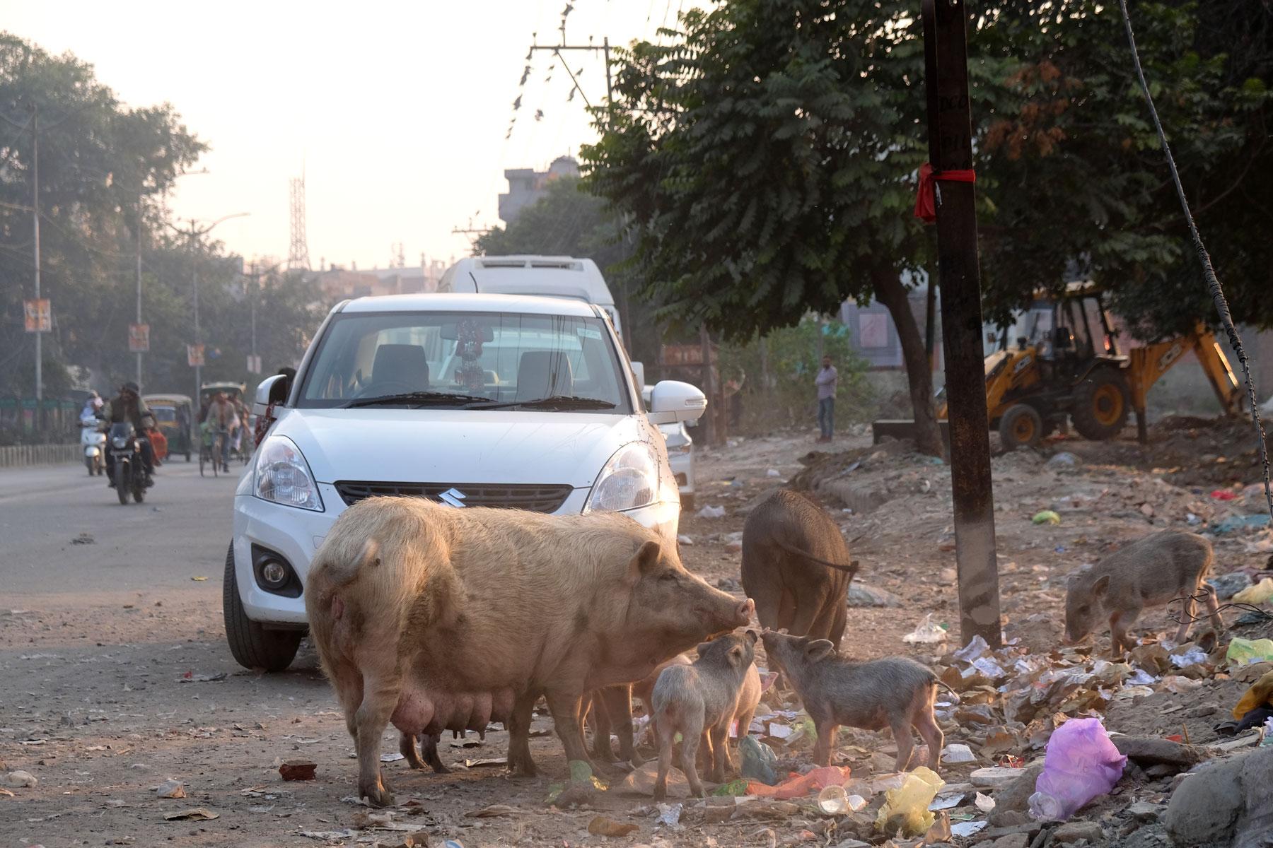 Schweine fressen Müll in Amritsar.