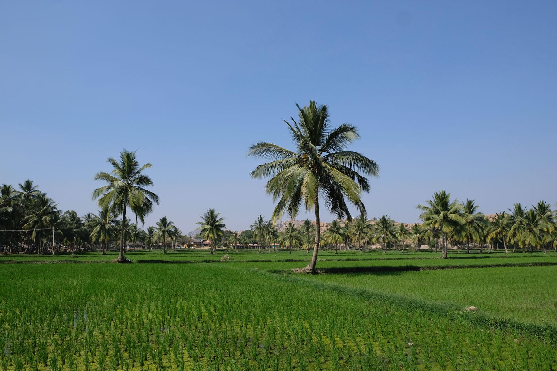 Reisfeld und Palmen in Hampi.