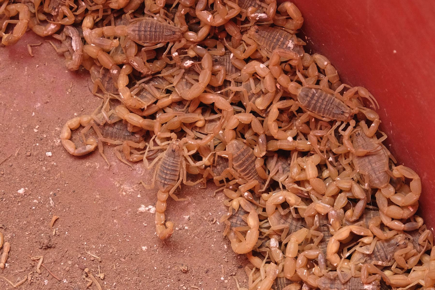Was für zwischendurch: stachelige Skorpione