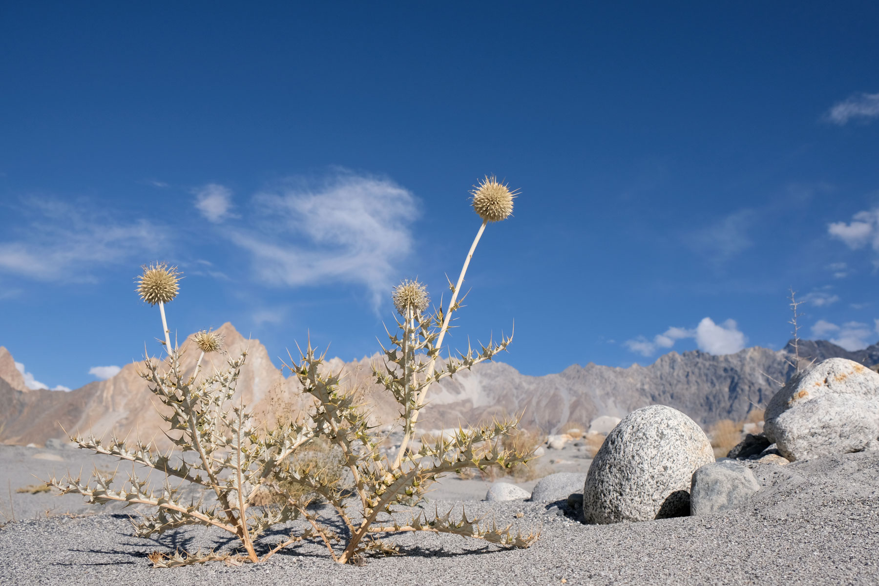 Disteln wachsen auf Sand.