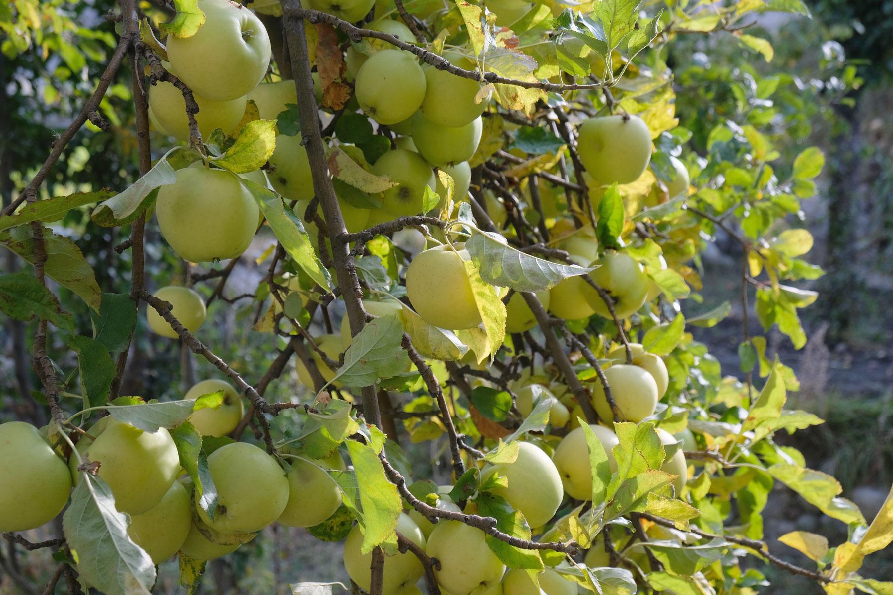 Äpfel an einem Apfelbaum.