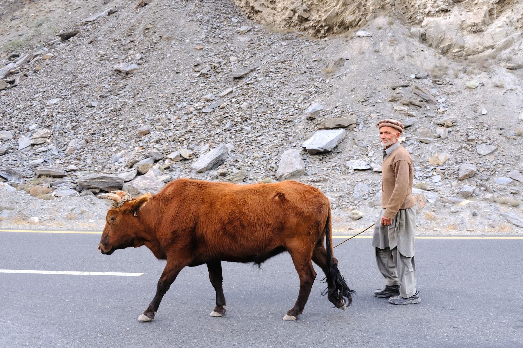 Ein pakistanischer Mann treibt eine Kuh über den Karakorum Highway.