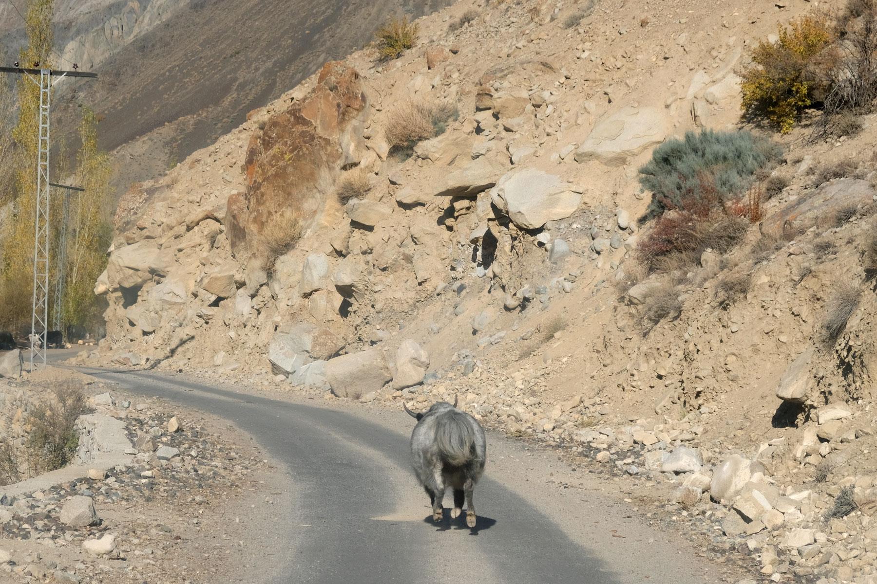 Ein Yak rennt auf einer Straße in den Deosai Plains.