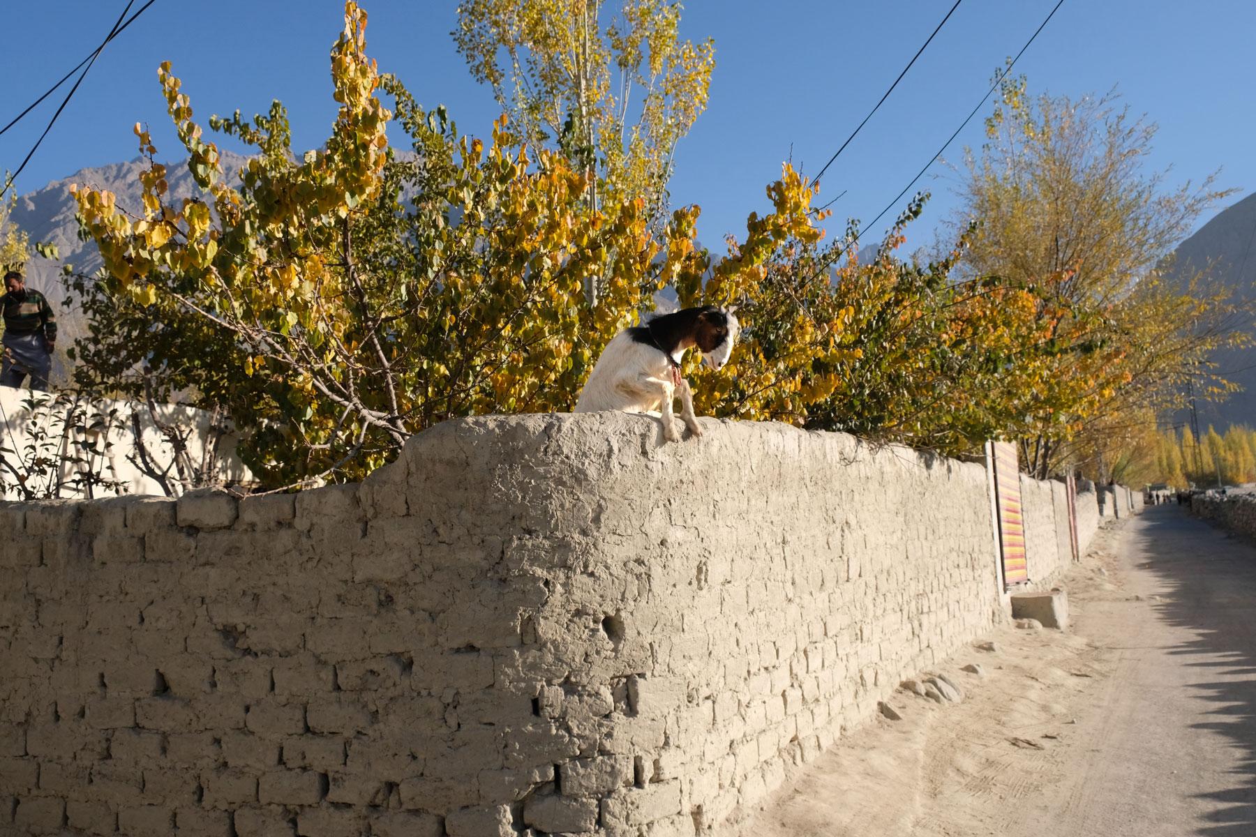 Eine Ziege versucht über eine Steinmauer zu klettern.