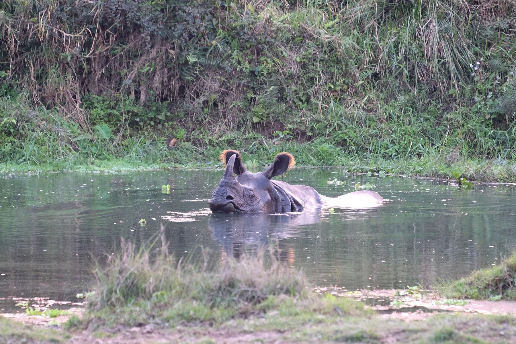 Ein Nashorn in einem Teich im Chitwan Nationalpark in Nepal.