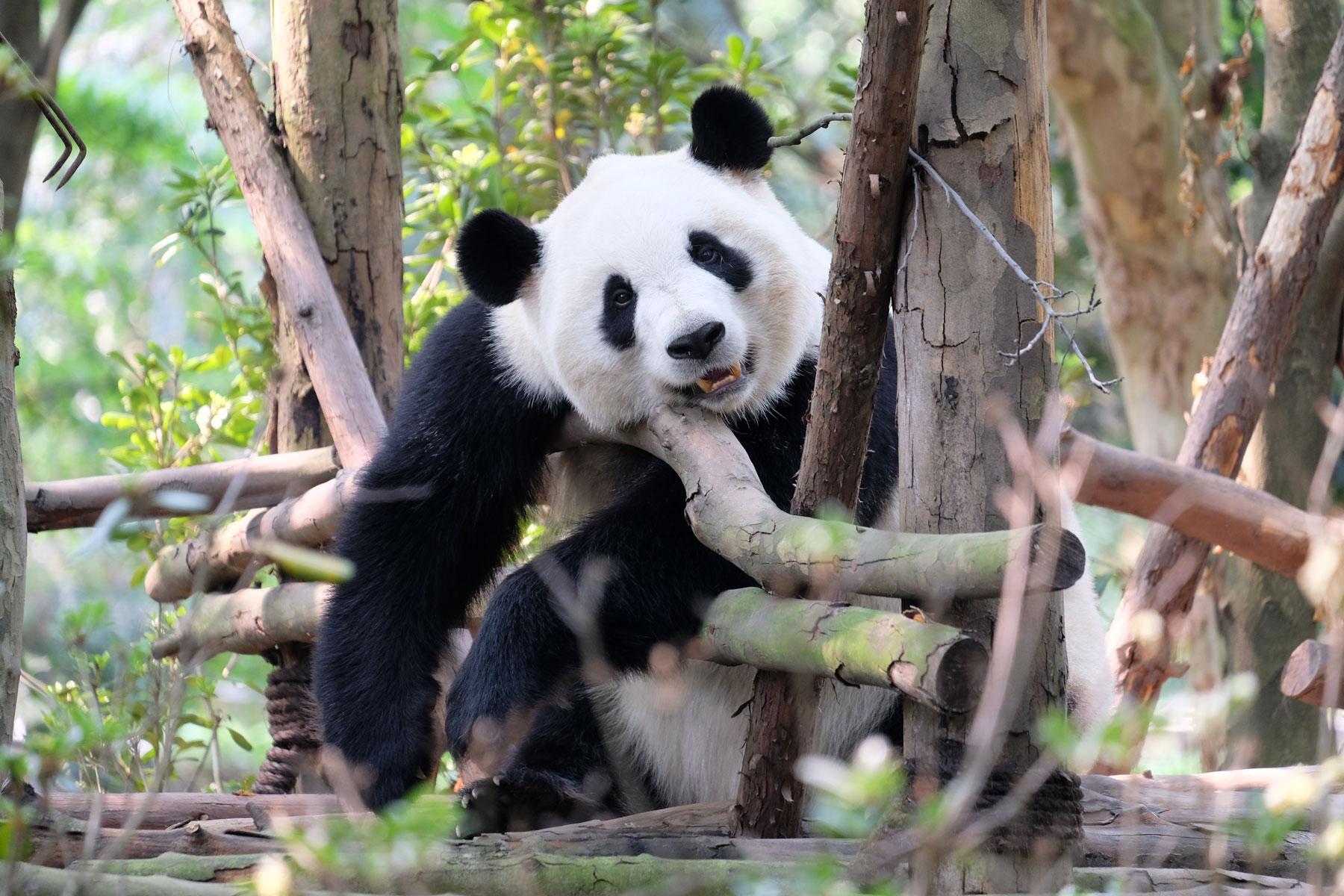 Ein Panda hängt in Chengdu auf einem Holzgerüst.