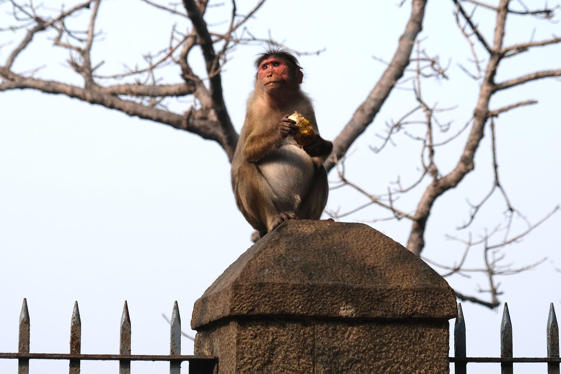 Ein Affe sitzt auf einem Pfosten und hält ein Stück Brot in der Hand.
