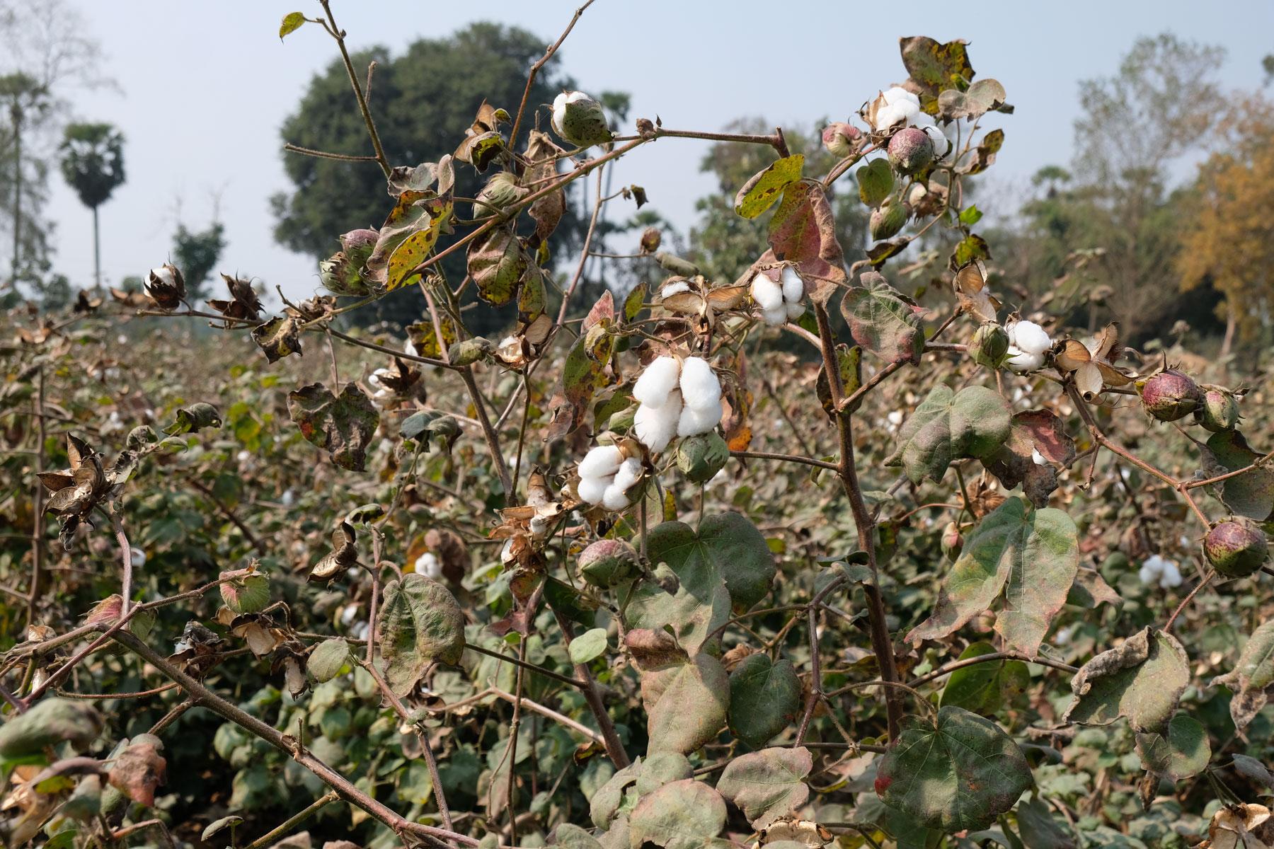 Baumwollpflanzen auf einem Feld in Indien.
