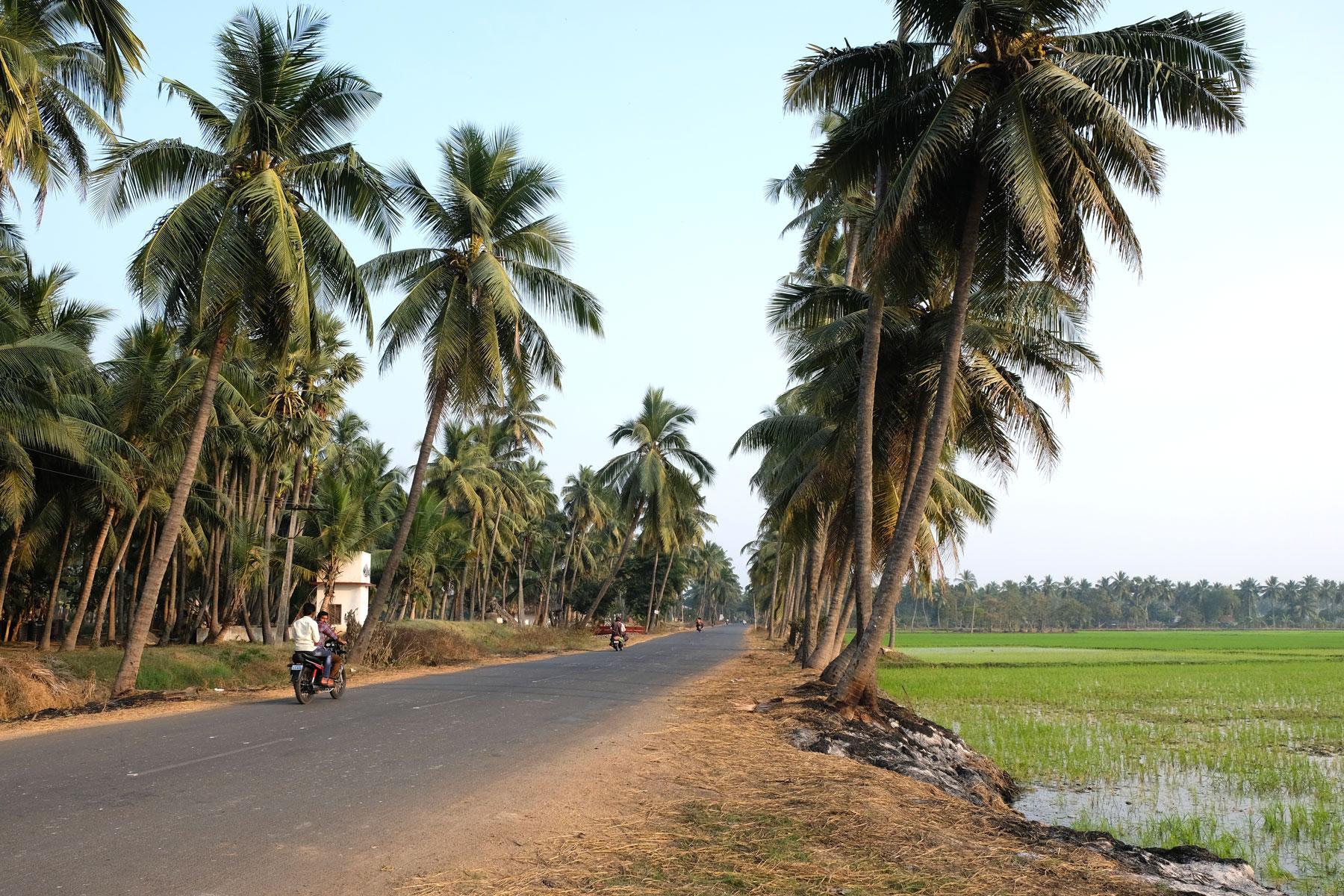 Eine von Palmen gesäumte Straße neben einem Reisfeld.