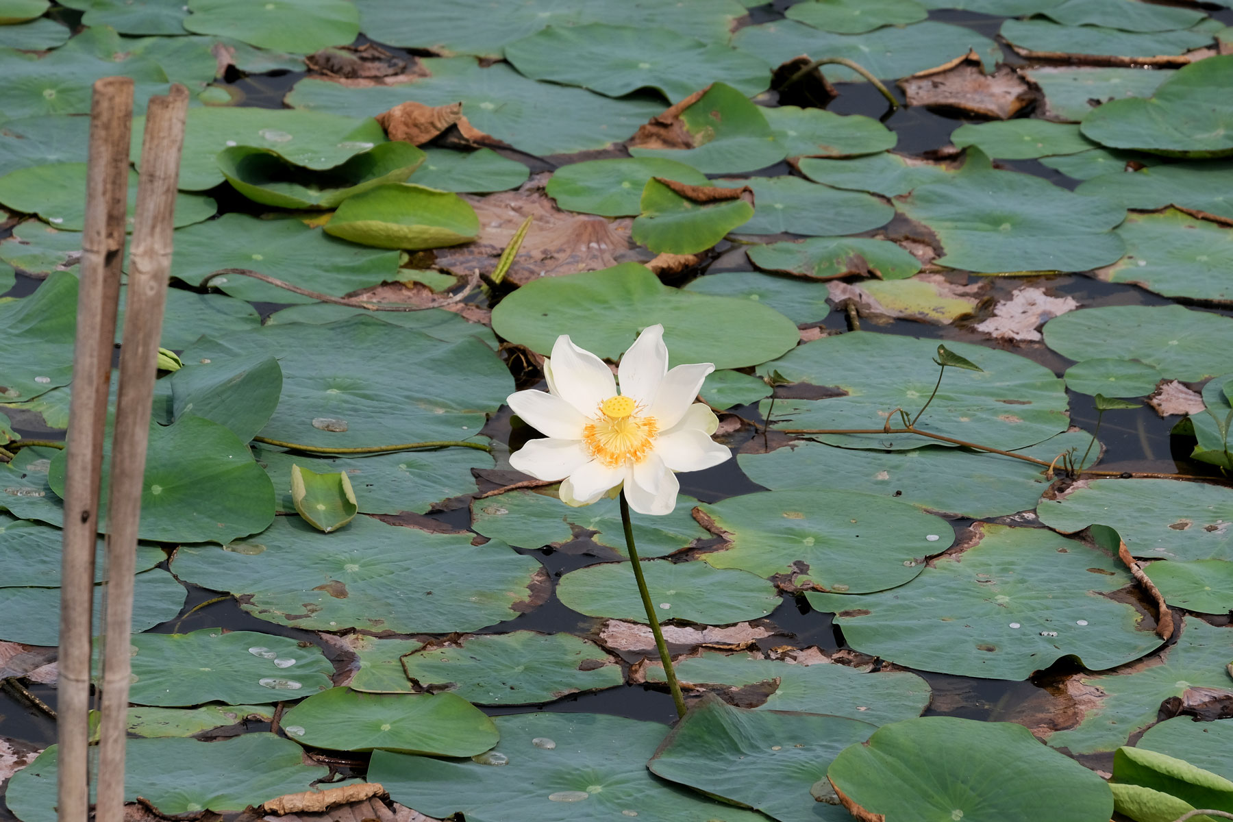 Lotusblüte im Wasser.
