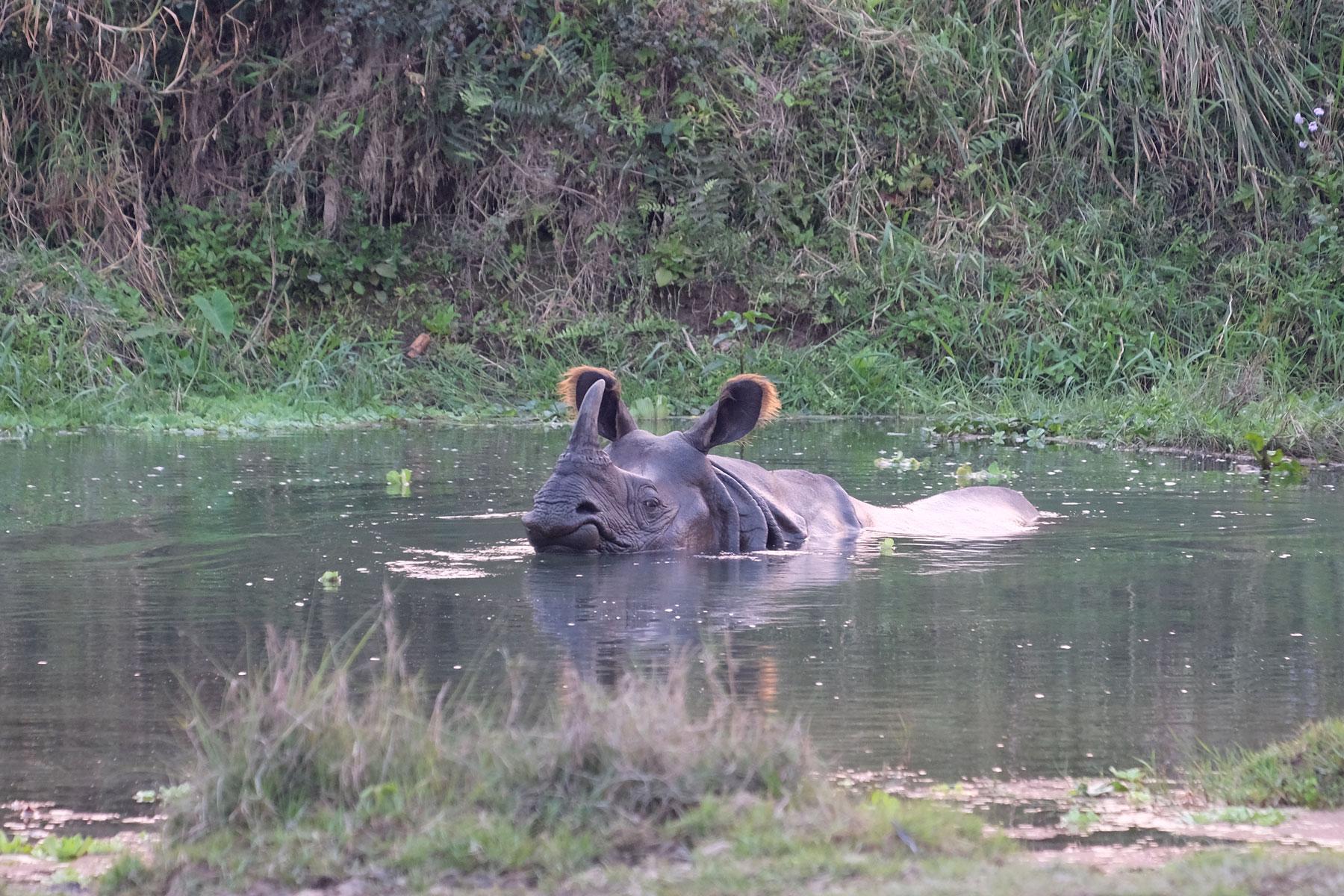 Ein Nashorn schwimmt in einem Teich im Chitwan Nationalpark in Nepal.