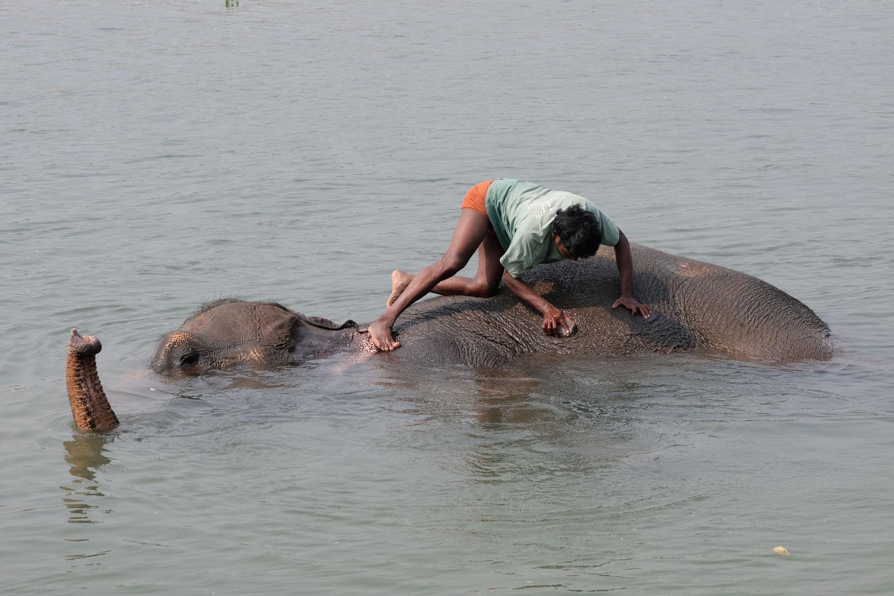 Ein nepalesischer Mann bürstet einen Elefant, der im Wasser liegt.
