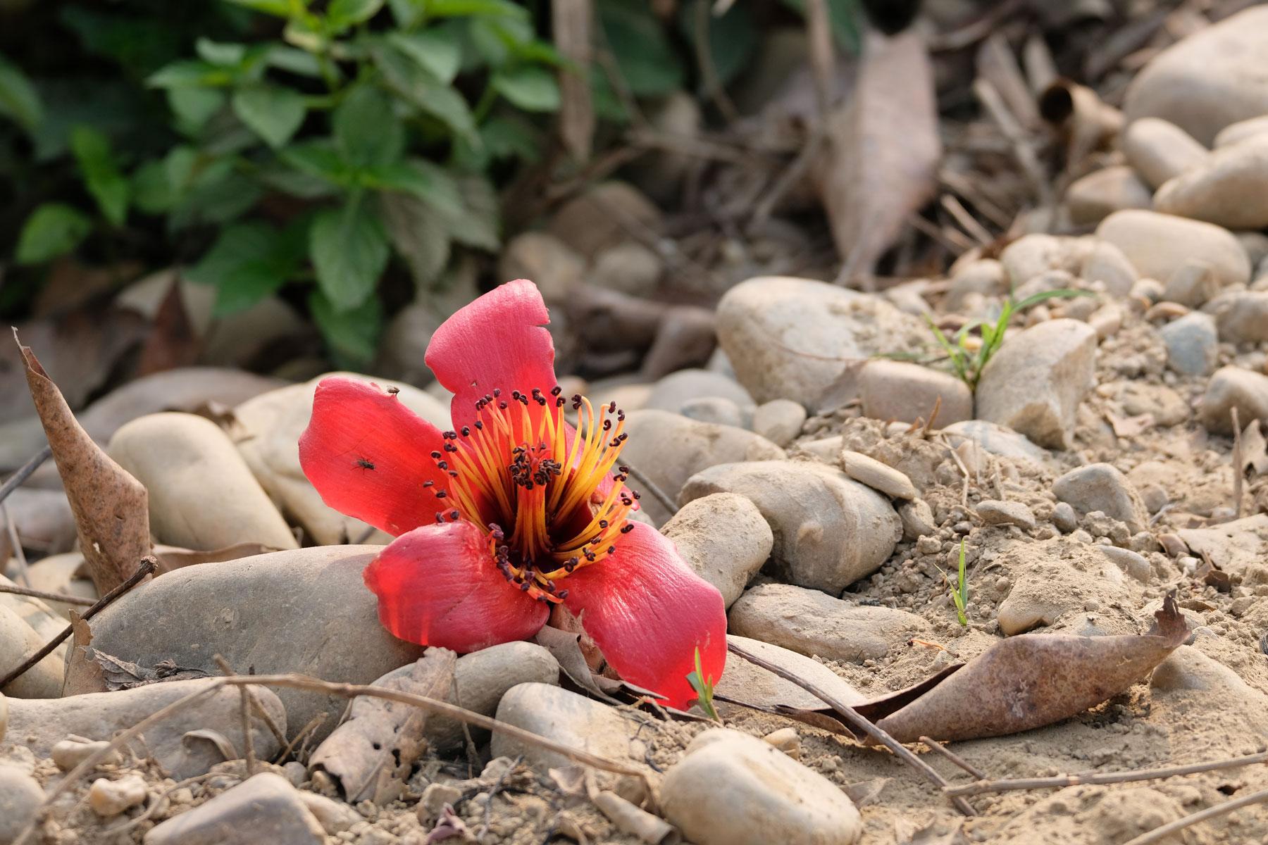 Rote Blüte auf Steinen.