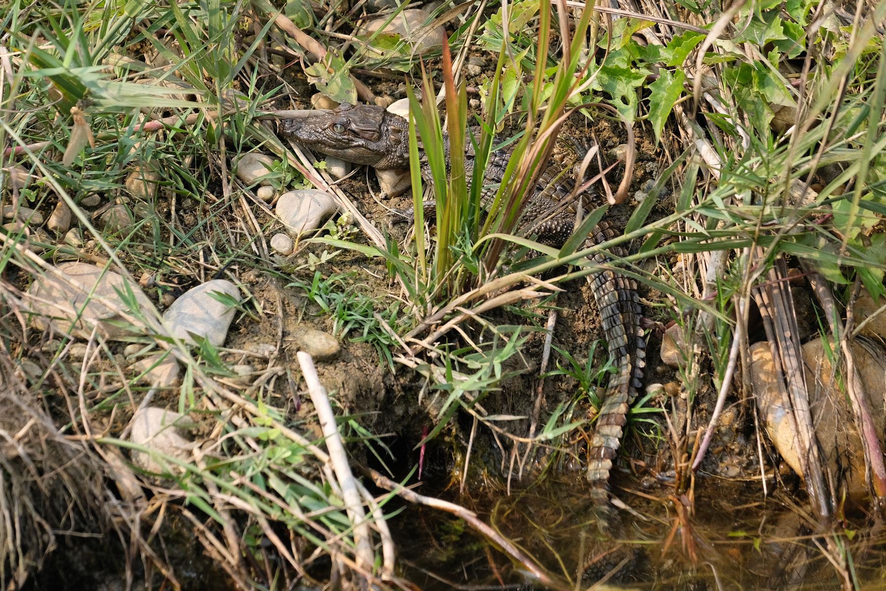 Ein kleines Krokodil im Gras am Rand eines Wasserlochs im Chitwan Nationalpark.