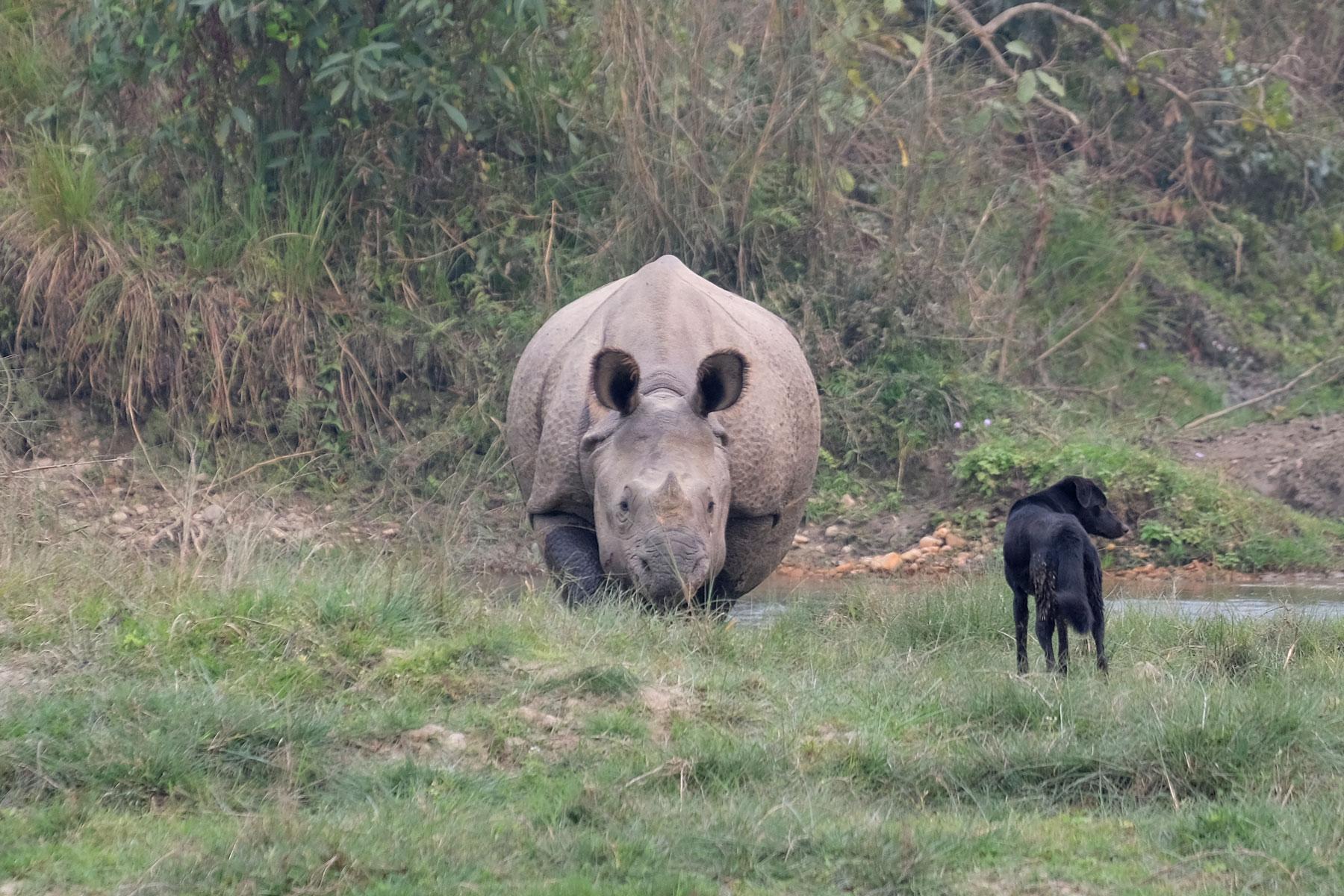 Ein Nashorn und ein Hund stehen sich im Chitwan Nationalpark gegenüber.