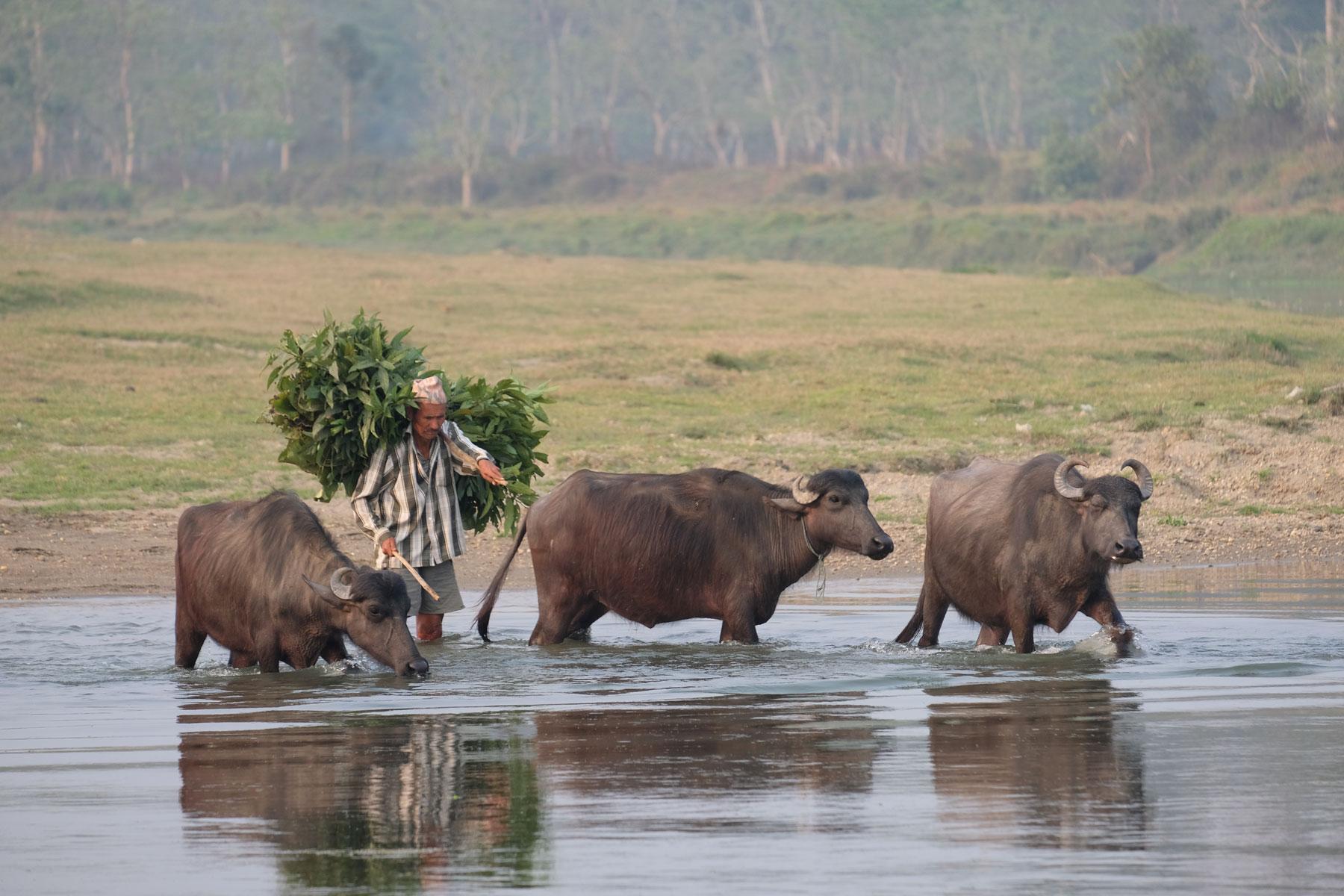Ein nepalesischer Mann und drei Wasserbüffel waten durch einen Fluss.