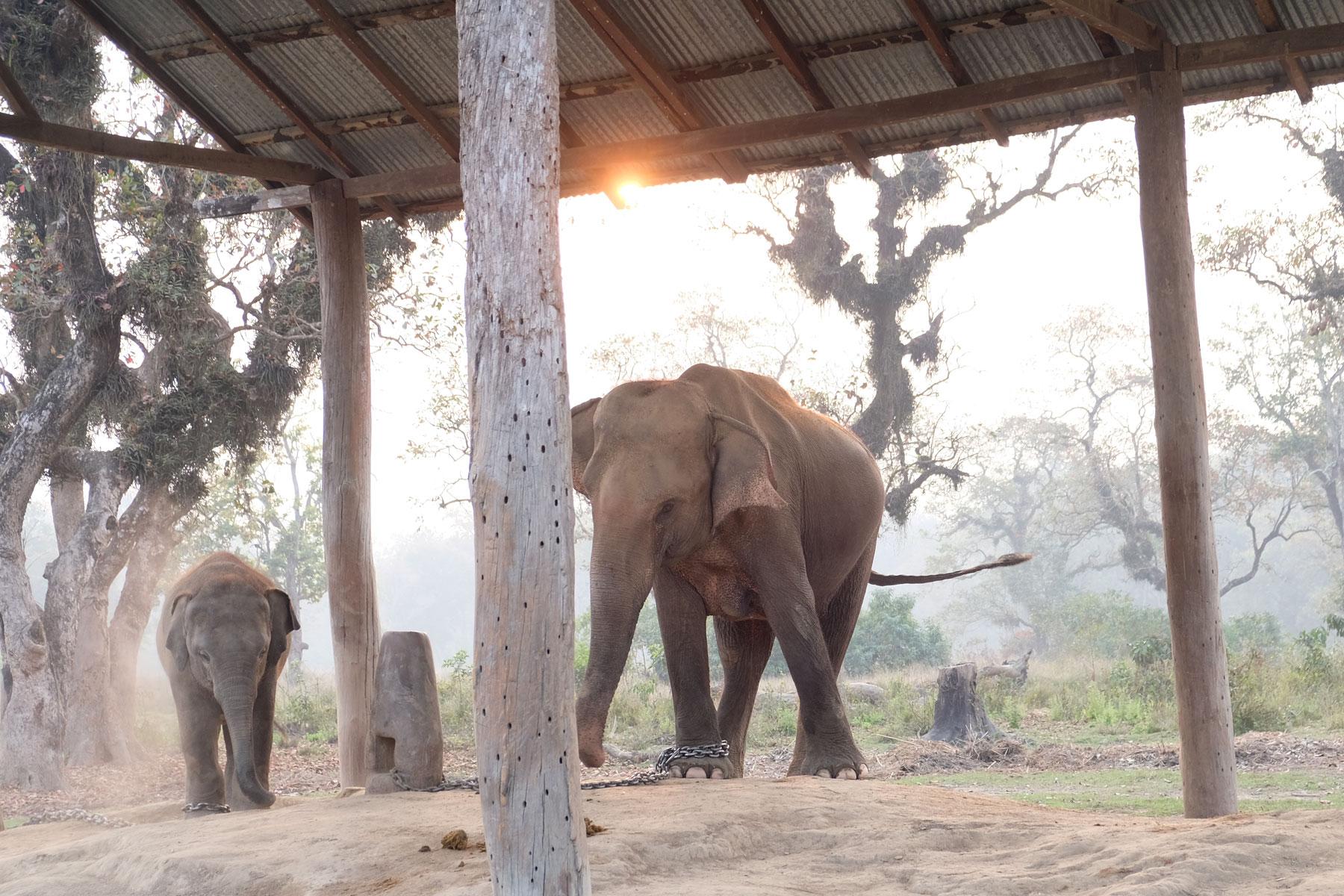 Ein angeketteter Elefant und ein Jungtier im Elephant Breeding Center in Chitwan.
