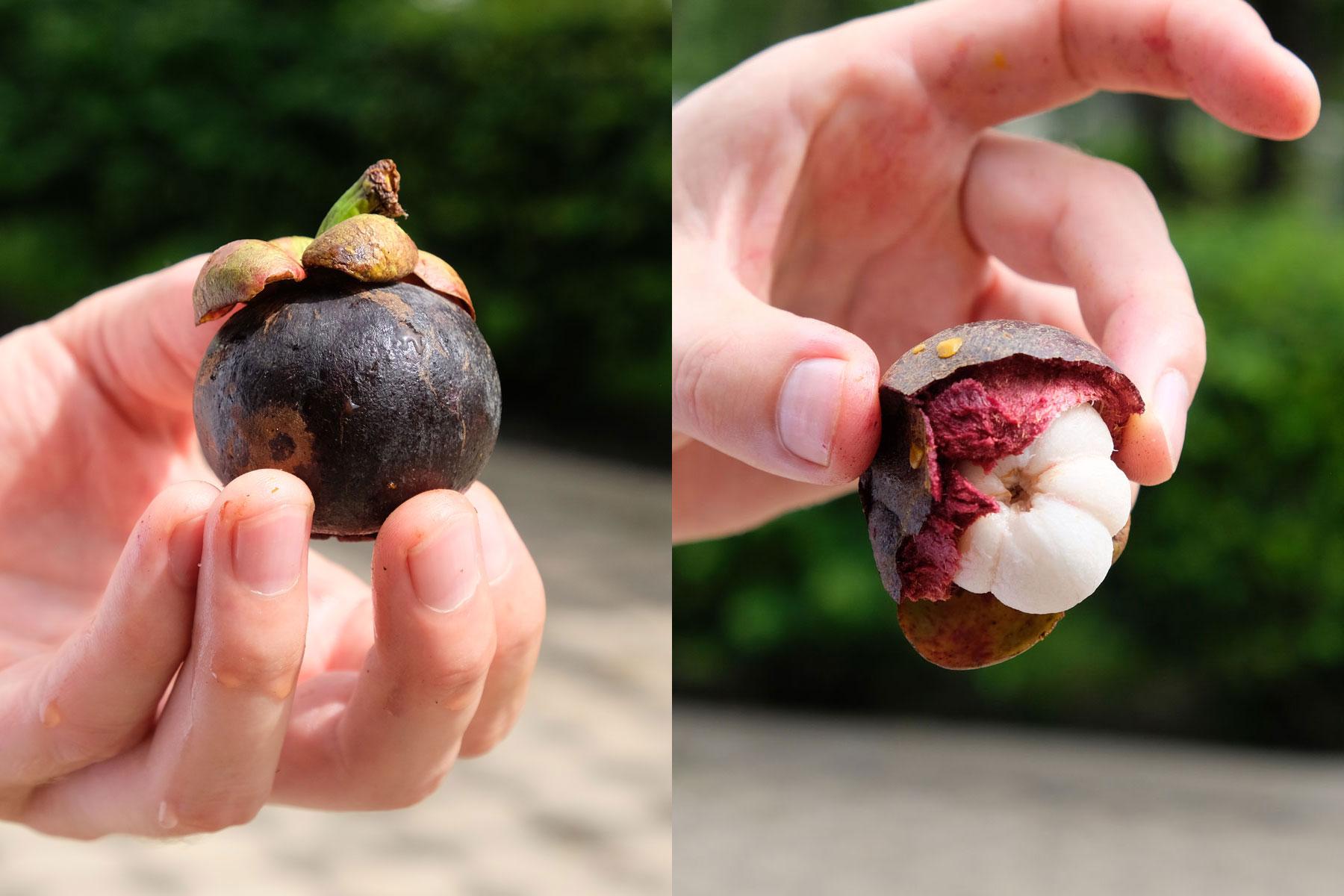 Eine Hand hält die Frucht Mangosteen.