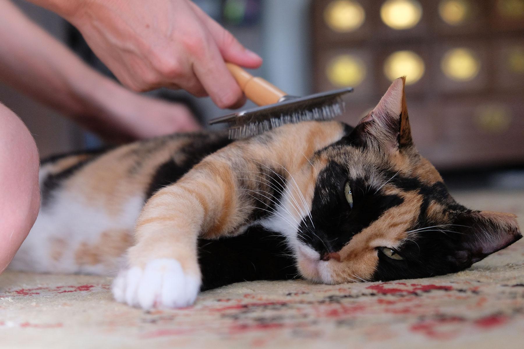 Eine Katze liegt auf einem Teppich und wird gebürstet.