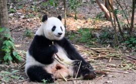 Ein Panda in der Chengdu Research Base of Giant Panda Breeding