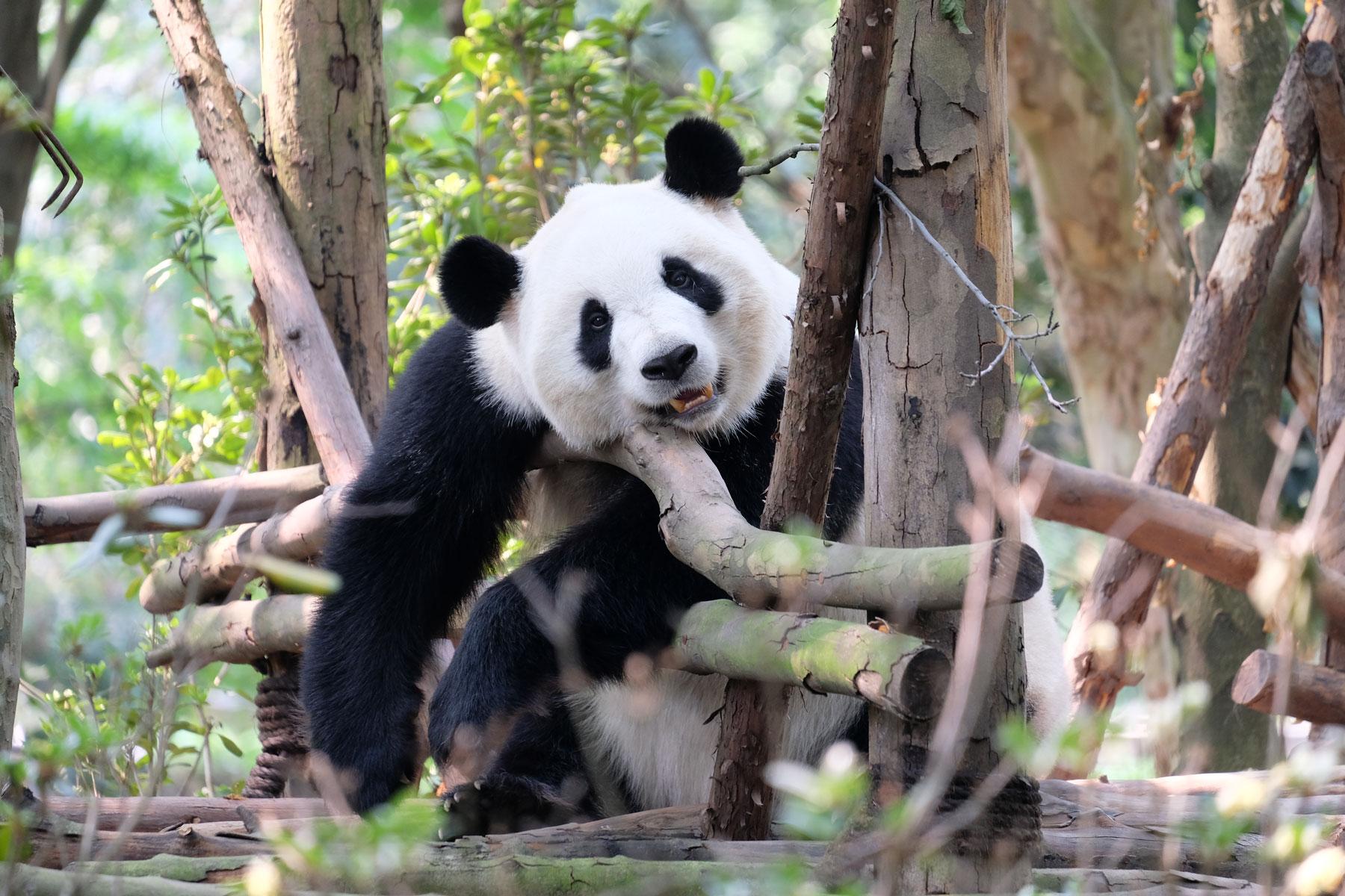 Ein großer Panda hängt träge an einem Holzgerüst.