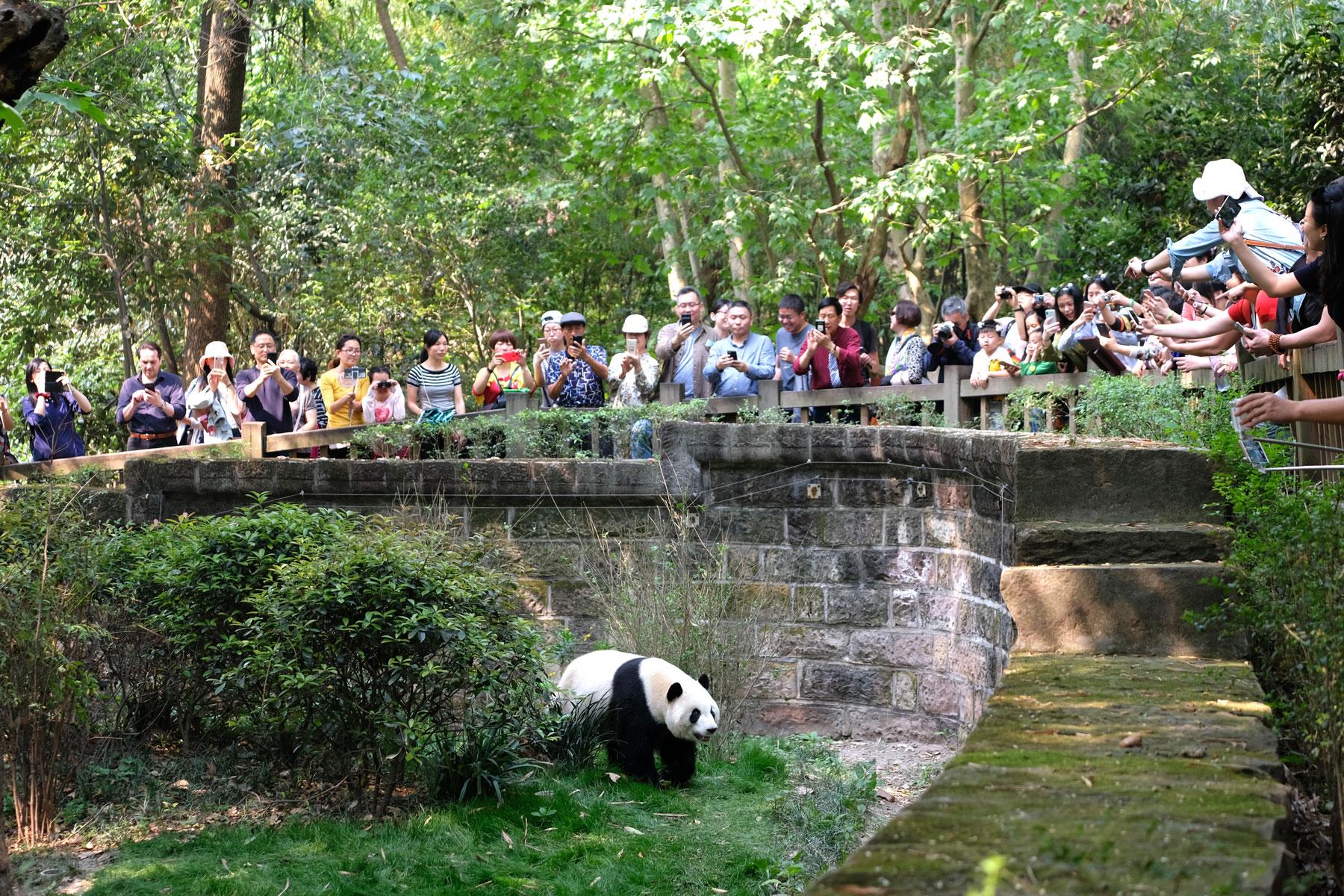 Chinesische Besucher schauen in das Gehege eines großen Pandas in der Aufzuchstation in Chengdu.