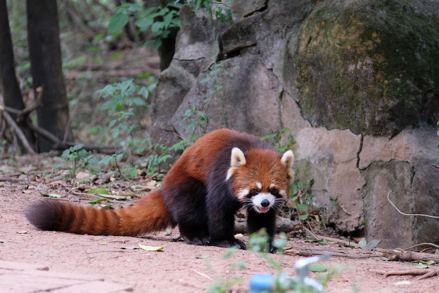 Ein roter Panda in der Aufzuchstation in Chengdu.