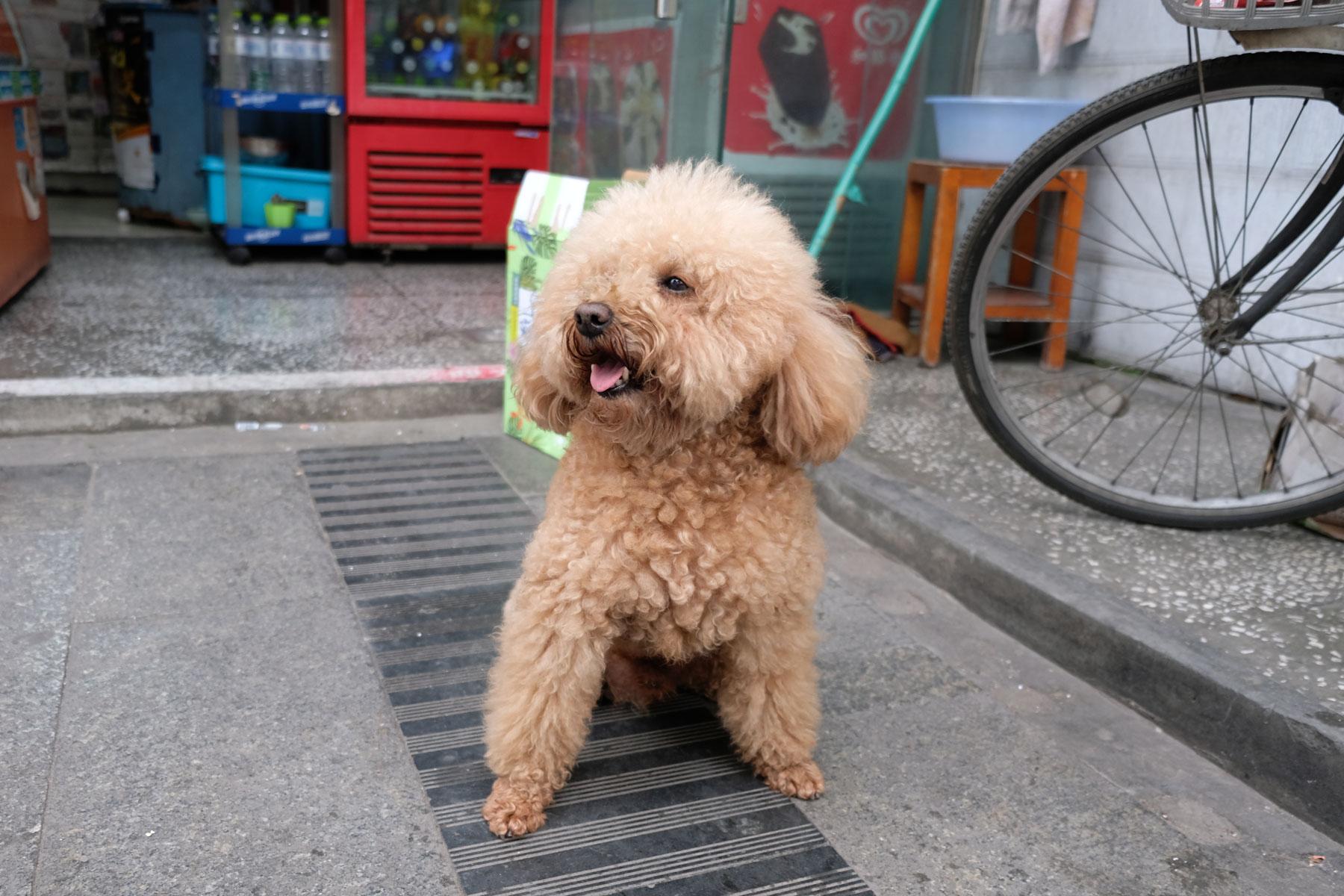 Ein Pudel in Chengdu.