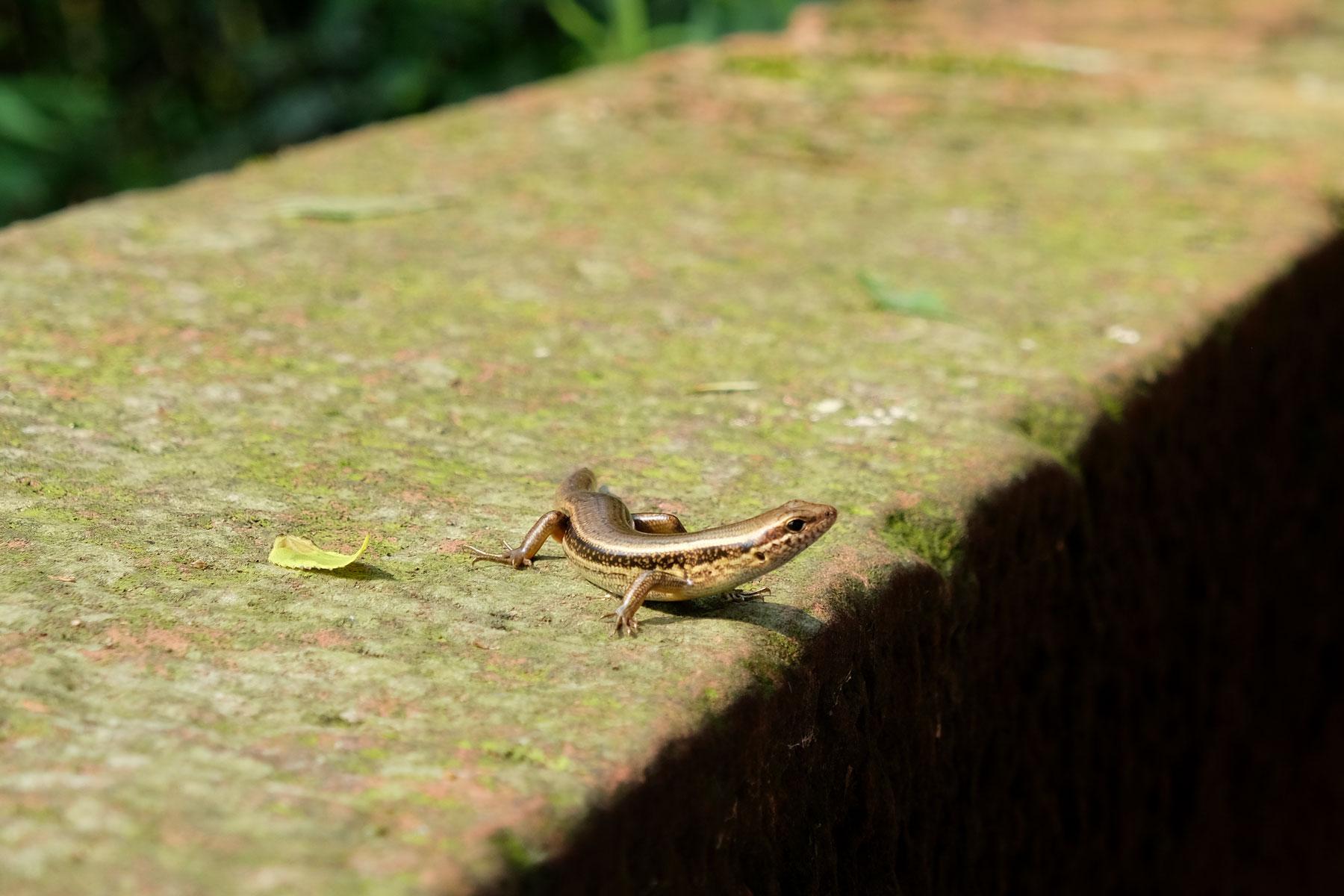 Ein Reptil sitzt auf einer Mauer im Bambusmeer in Shunan Zhuhai Nationalpark.
