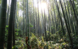 Bambuswald im Shunan Zhuhai Nationalpark
