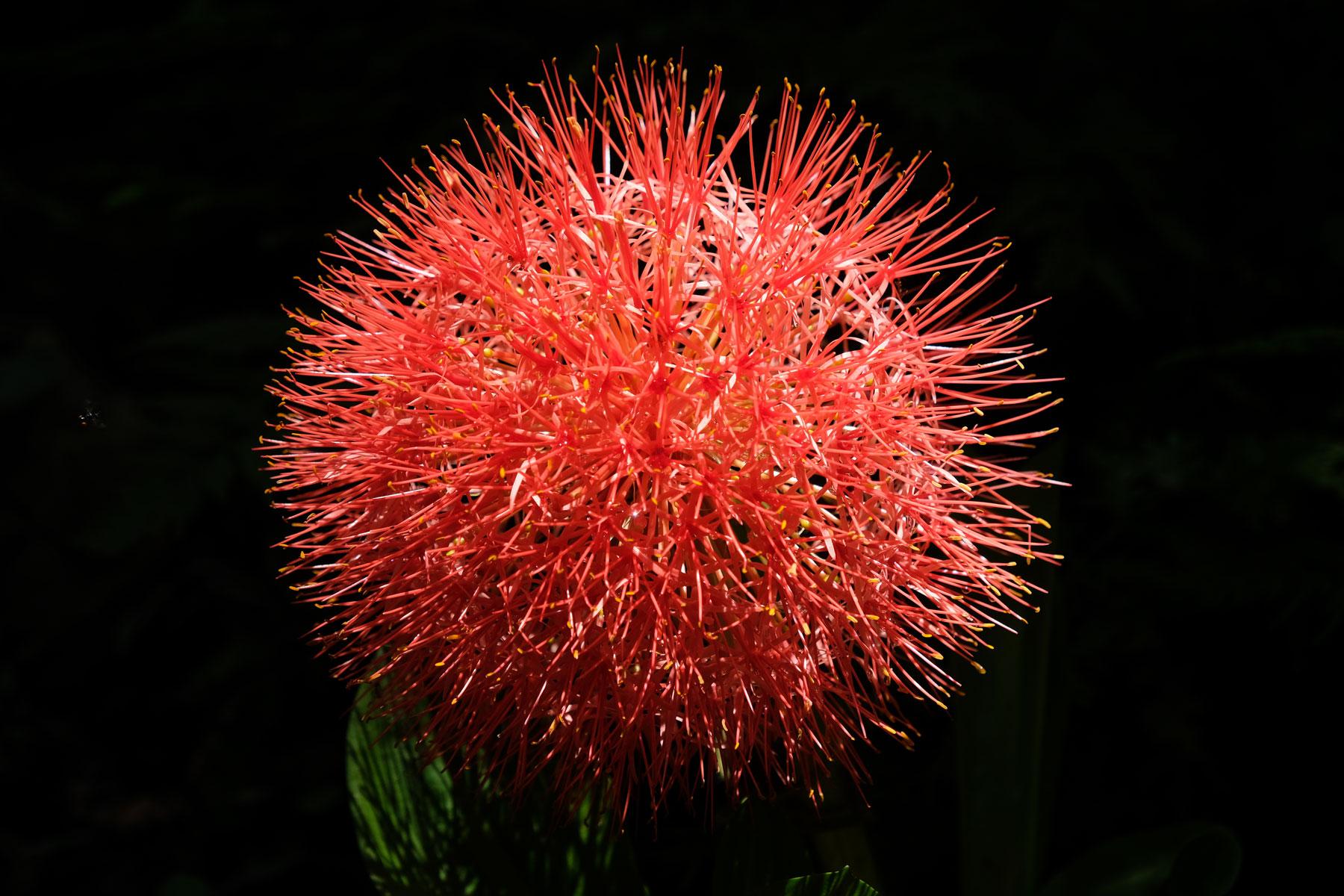 Eine rote, stachelige Blume.