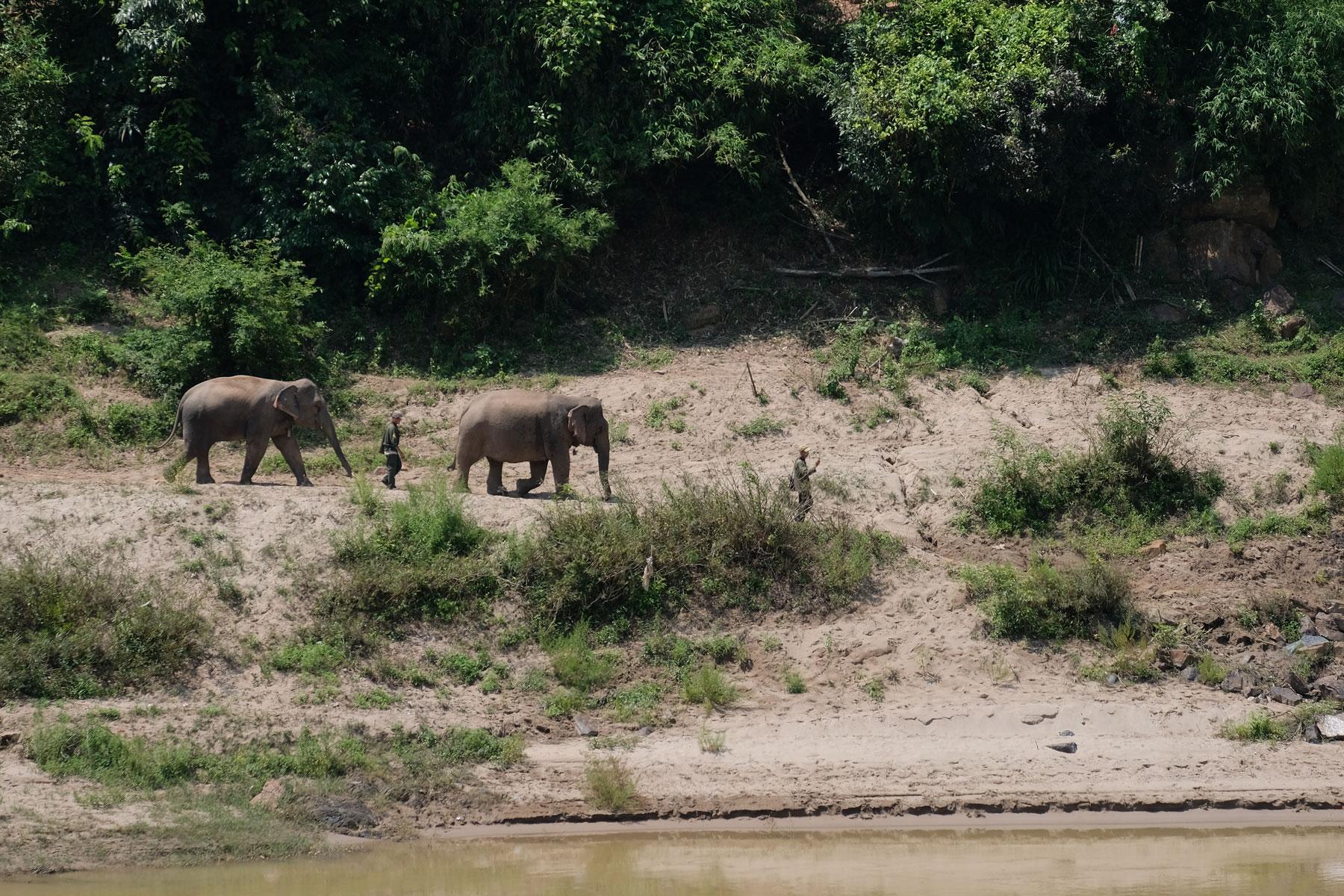 Ein Mann führt in Pak Beng zwei Elefanten an den Mekong.