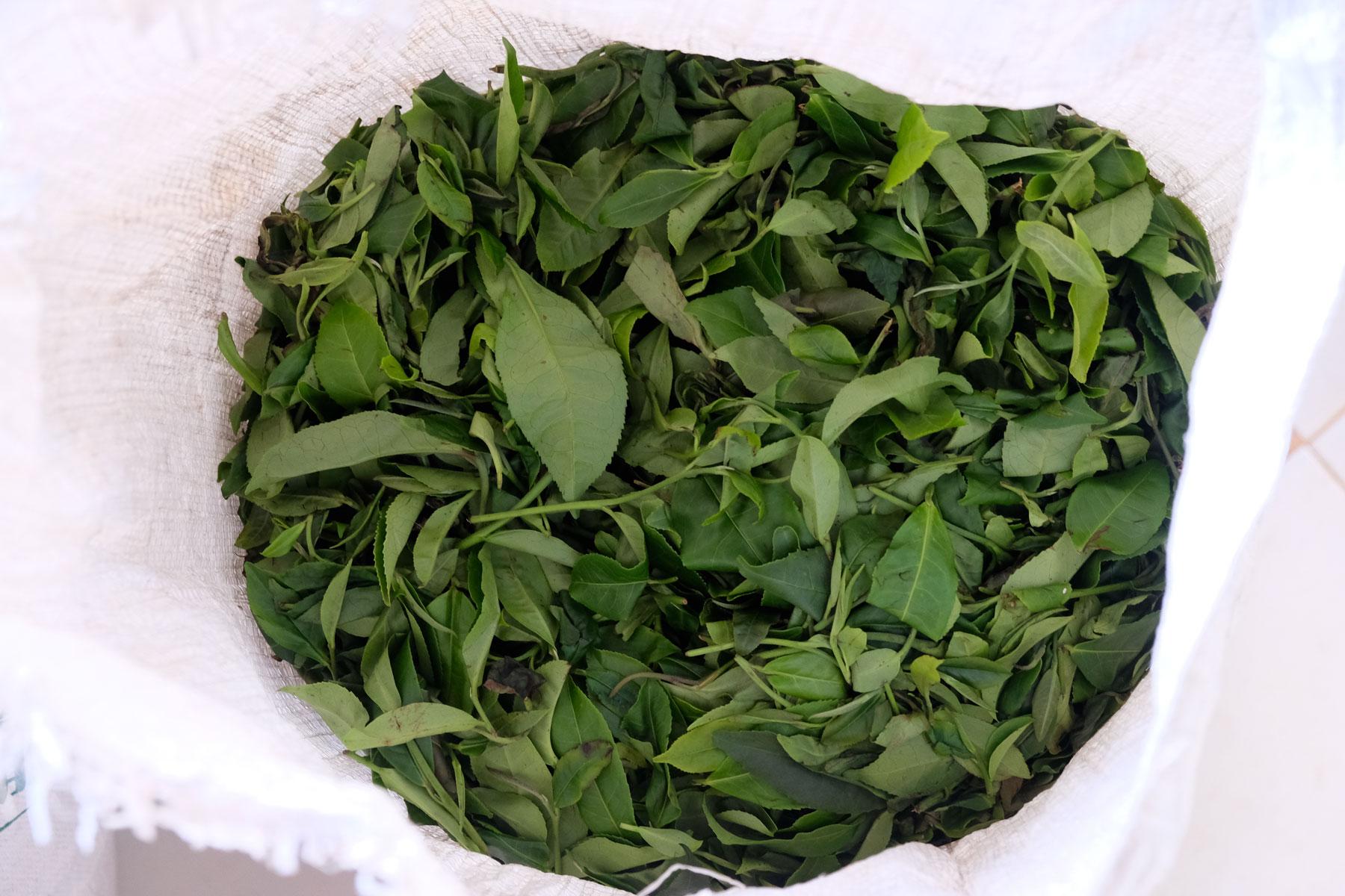 Ein weißer Sack voller frischer grüner Teeblätter.