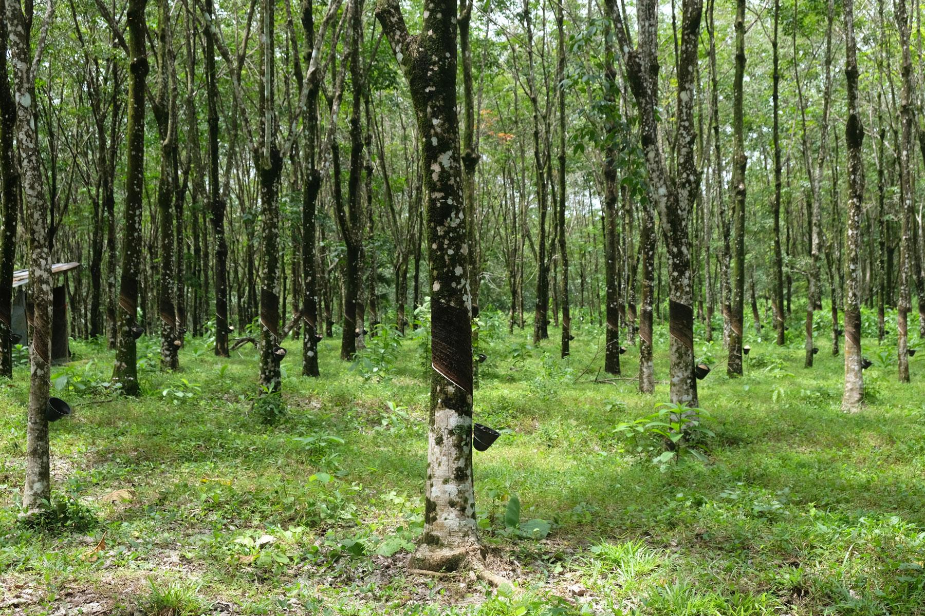 Eine Kautschukplantage auf Langkawi in Malaysia.